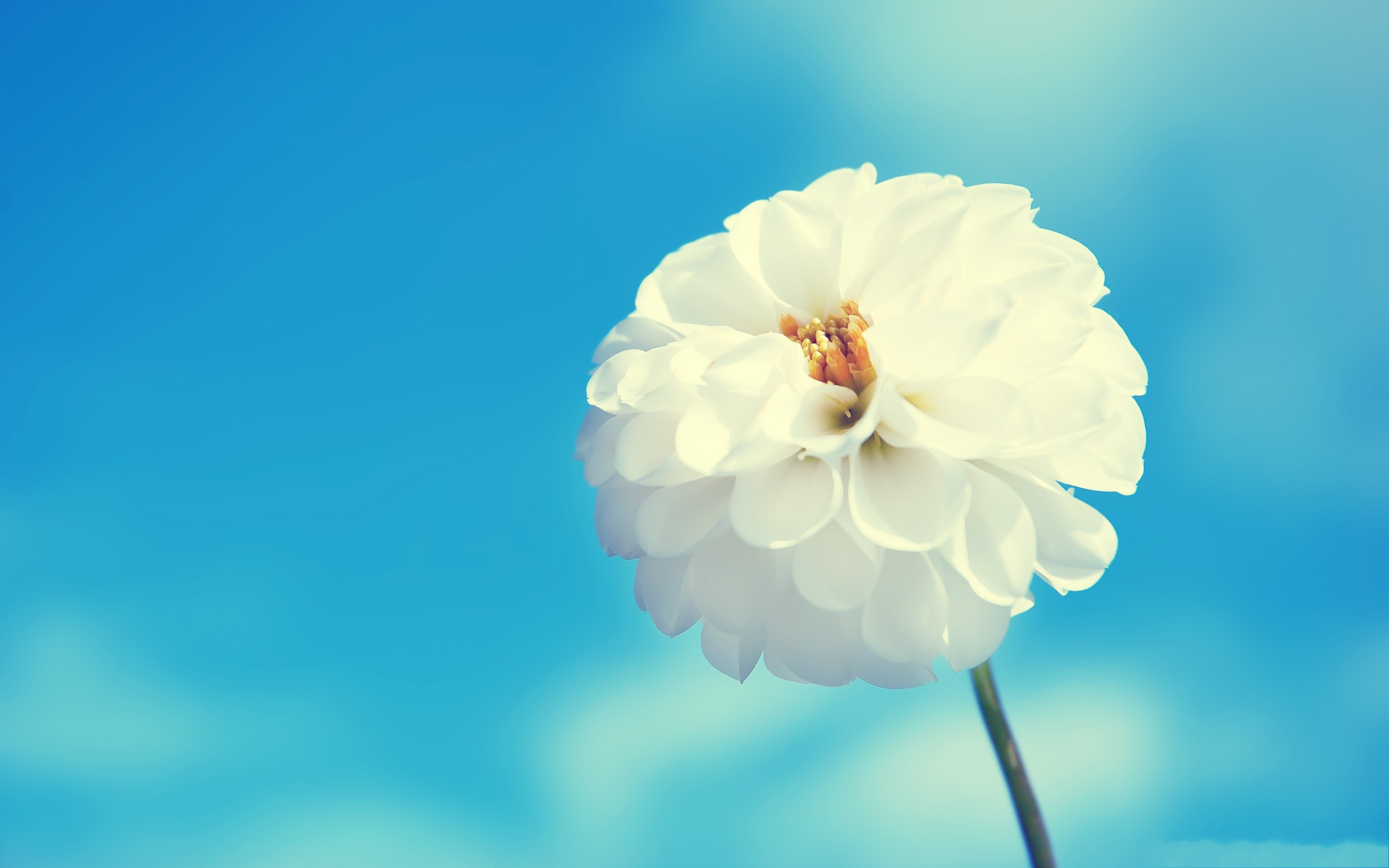 click to free download the wallpaper--Amazing Flowers Picture, White Flower Blooming in the Blue Sky 2560X1600 free wallpaper download