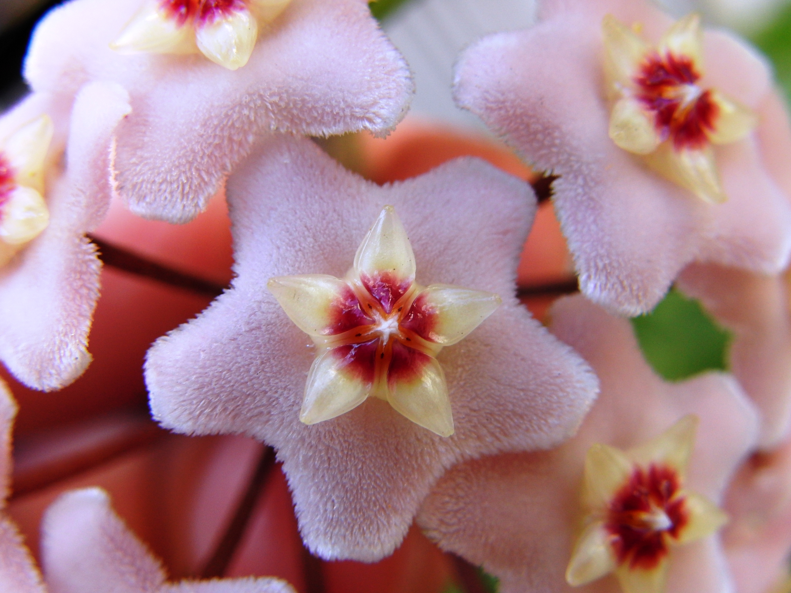click to free download the wallpaper--Amazing Landscape of the World, Hoya Carnosa in Bloom, Star Style
