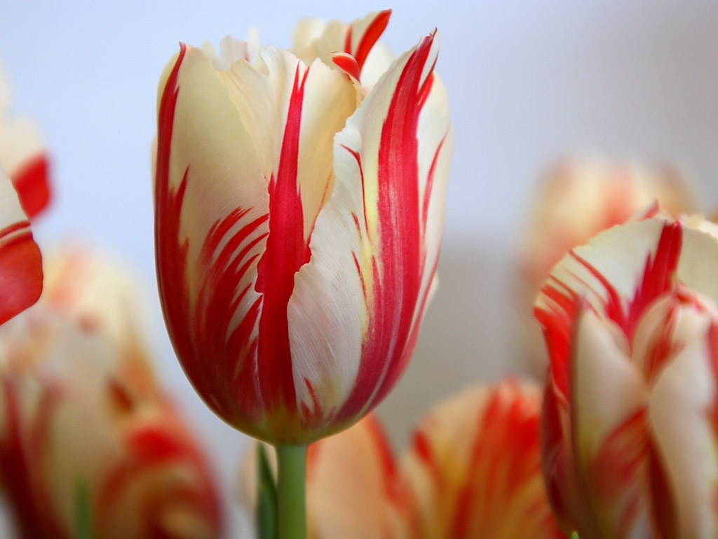 click to free download the wallpaper--Amazing Landscape with Flowers, Red Striped Tulip Under the White Background