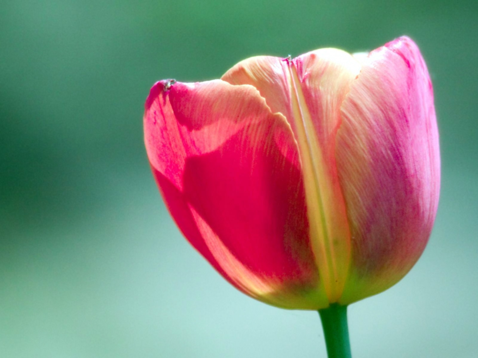 click to free download the wallpaper--Amazing Landscape with Flowers, a Pink Tulip on Green Background, Incredible Look