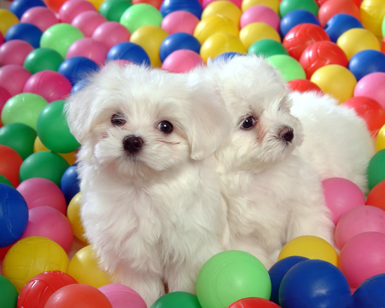 click to free download the wallpaper--Baby Dogs Picture, Two Close White Puppies, Colorful Balls Around Them 1280X1024 free wallpaper download