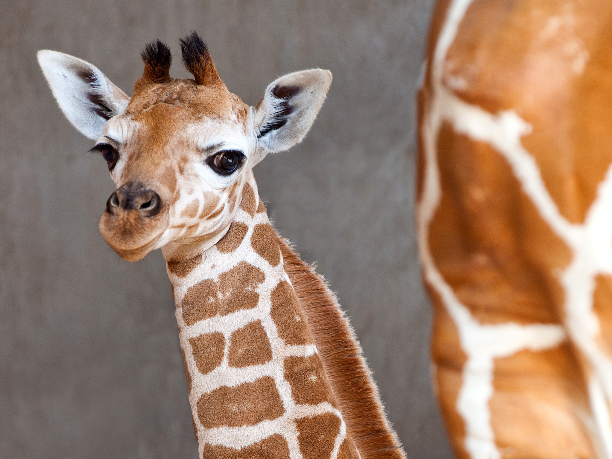 Baby Giraffe Photos, Cute Baby Turning the Head Around, What a Sweetie!--2048X1536 free wallpaper download