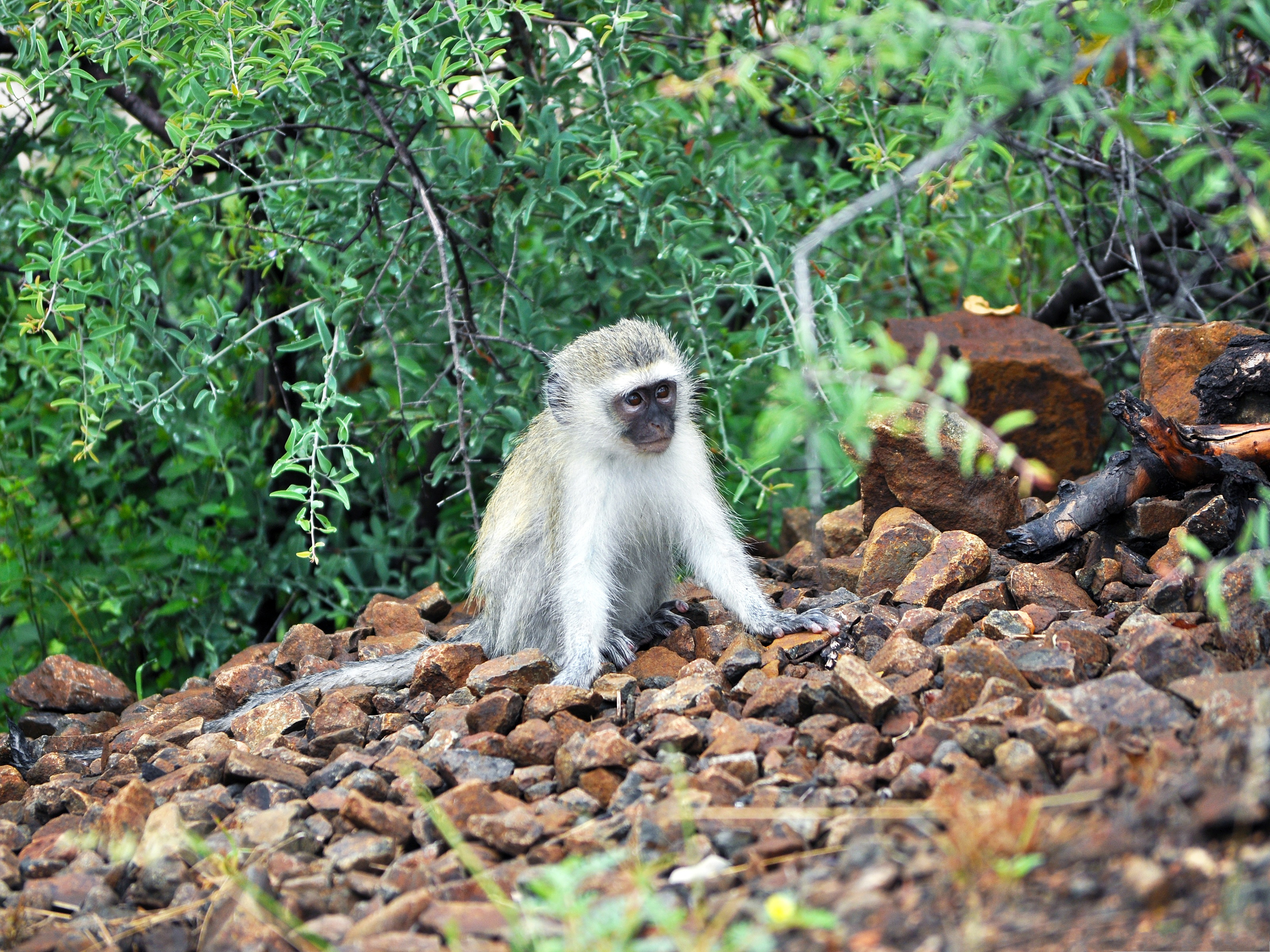 click to free download the wallpaper--Baby Vervet Monkey, Cute Baby in Attentive Eyesight, What is Over There? 3200X2400 free wallpaper download