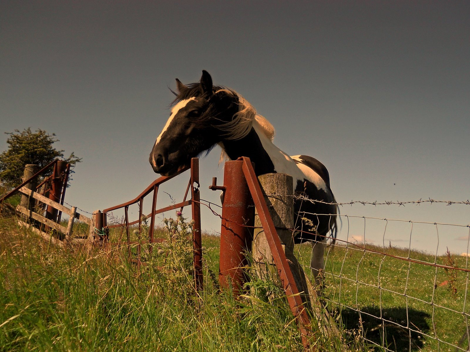 click to free download the wallpaper--Beautiful Image of Animals, a Tall Horse in Fences, Enjoying the Nature Scene 1600X1200 free wallpaper download