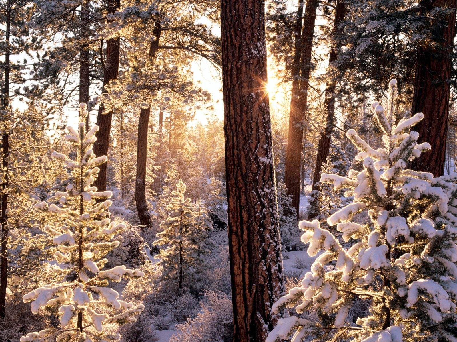 click to free download the wallpaper--Beautiful Image of Nature Landscape, Snow-Capped Forest, Sunlight Breaking in