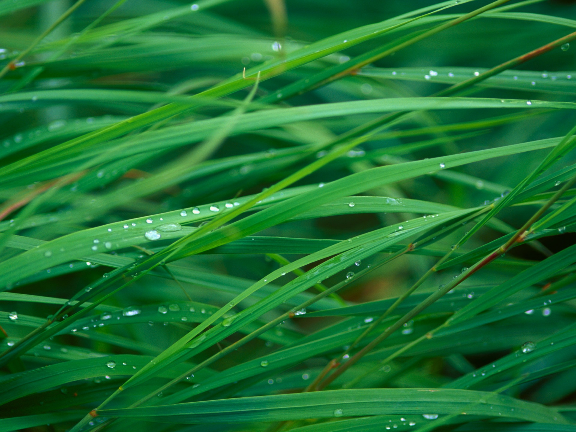 click to free download the wallpaper--Beautiful Images of Natural Landscape, Green Grass with Waterdrops, Incredible Scene