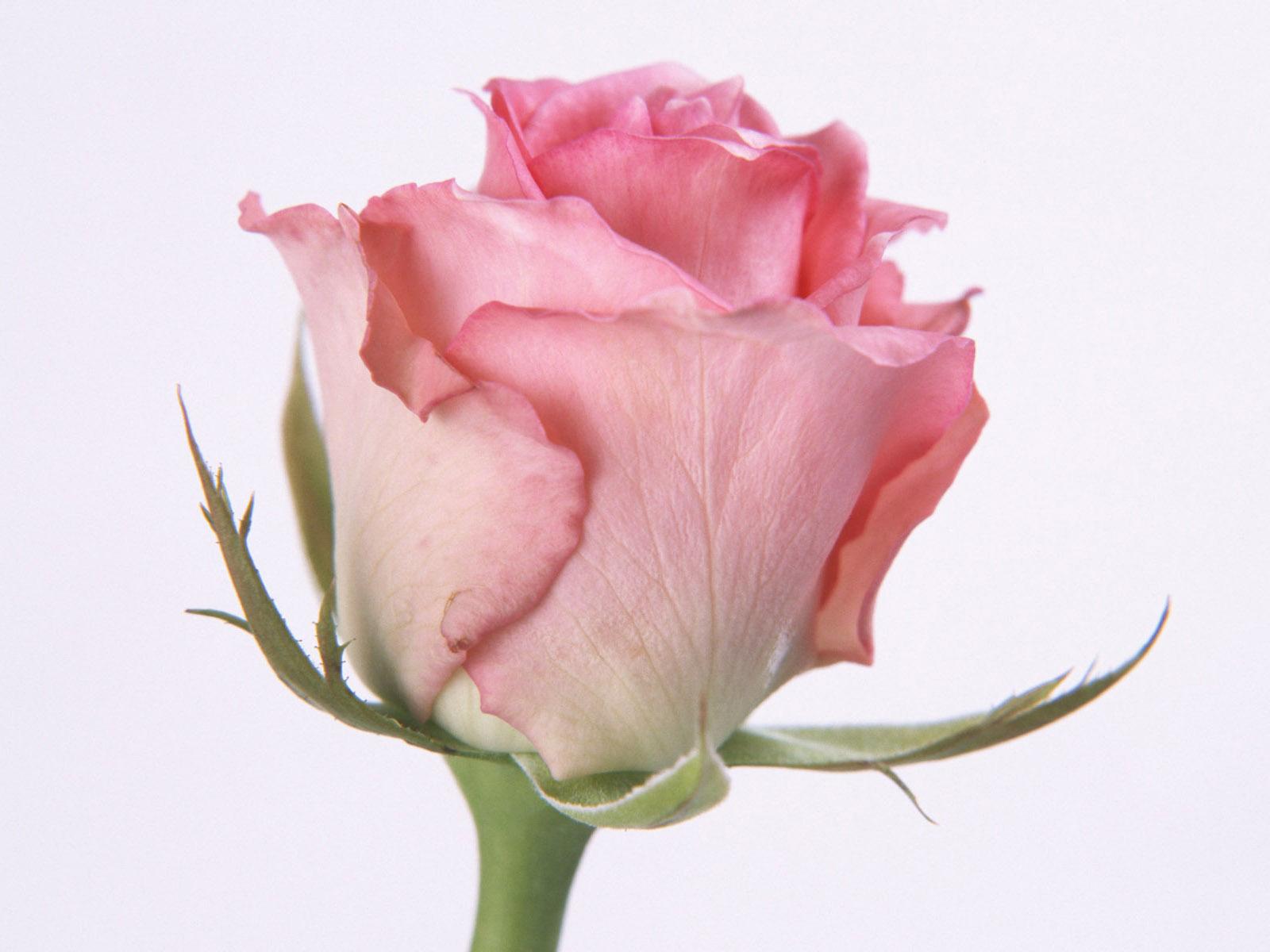 bloomed white roses wallpaper-#37