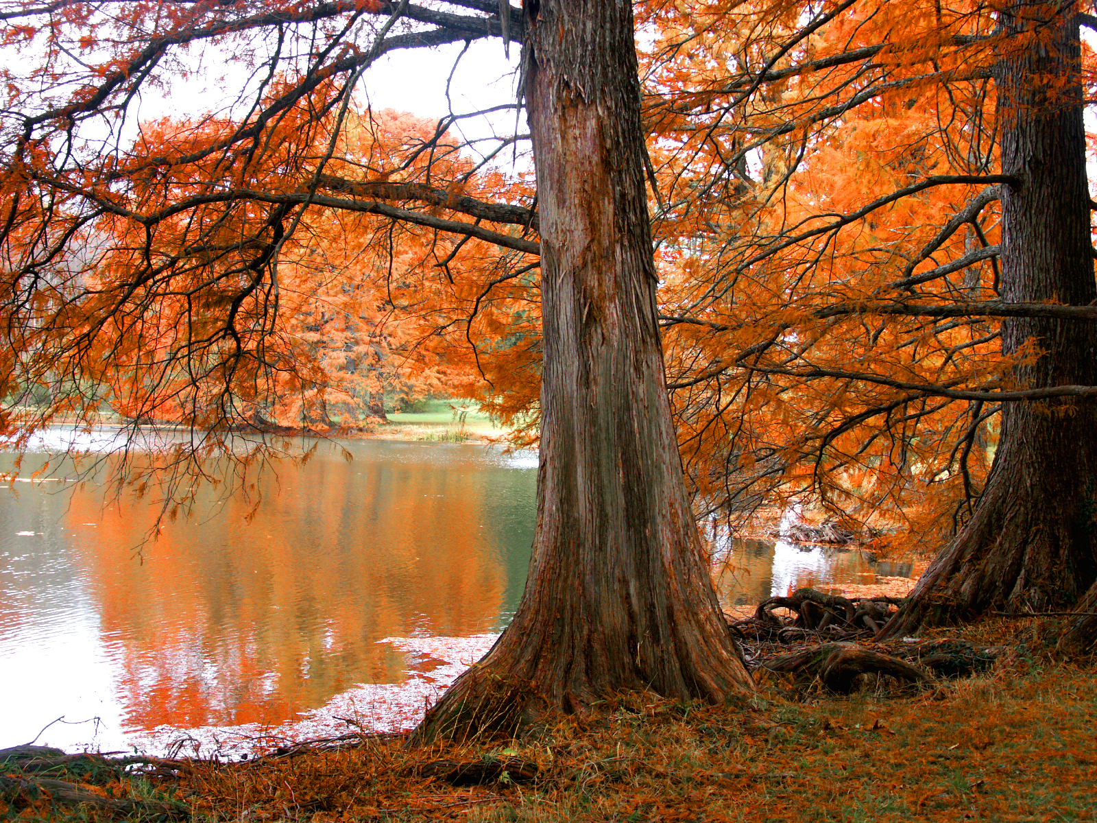 click to free download the wallpaper--Beautiful Natural Landscape, Pacific Lake, Yellow Leaves Reflect, Autumn Scene