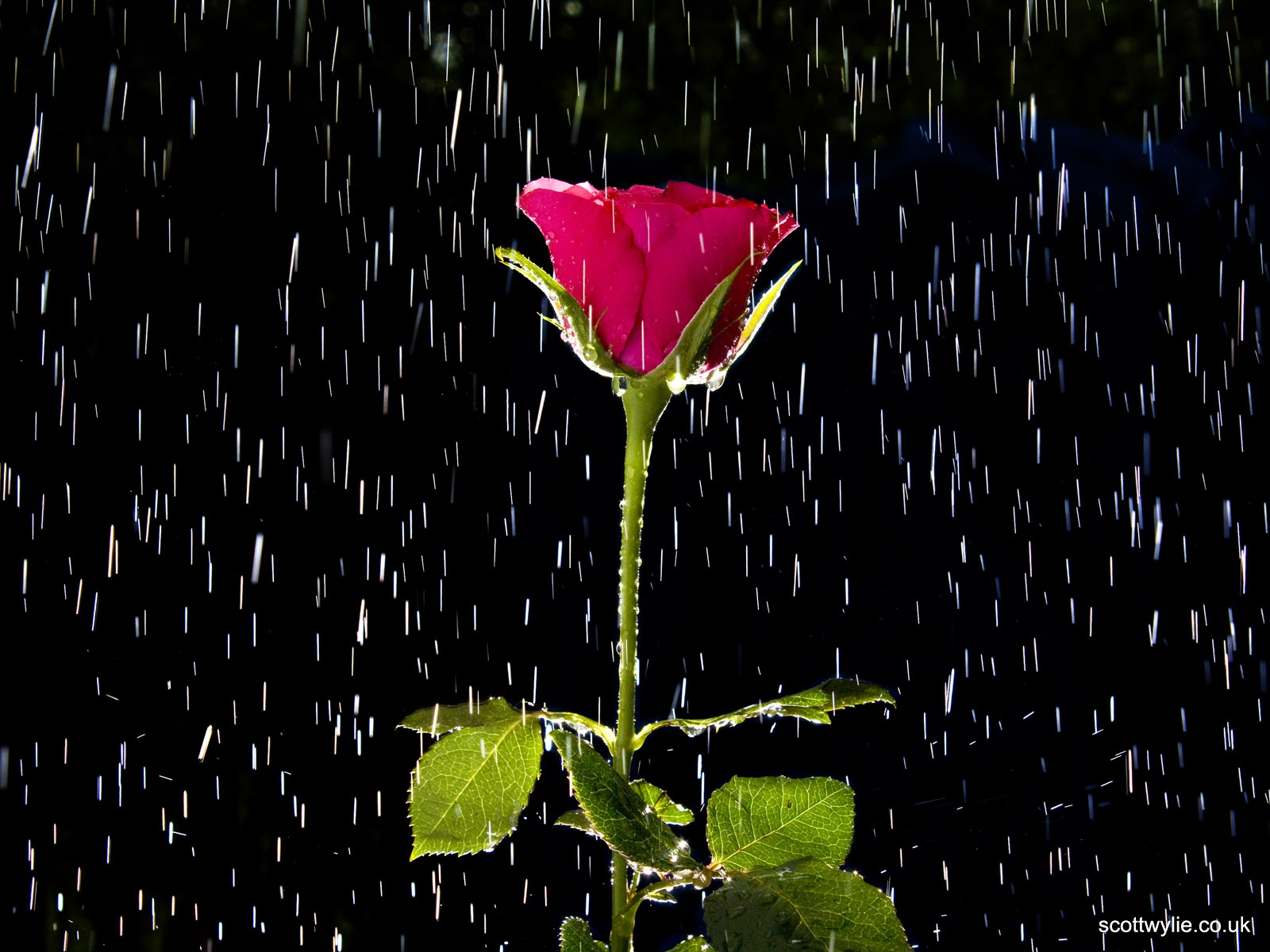 click to free download the wallpaper--Beautiful Nature Landscape, a Red Rose in the Rain, True Love is Tough and Enduring