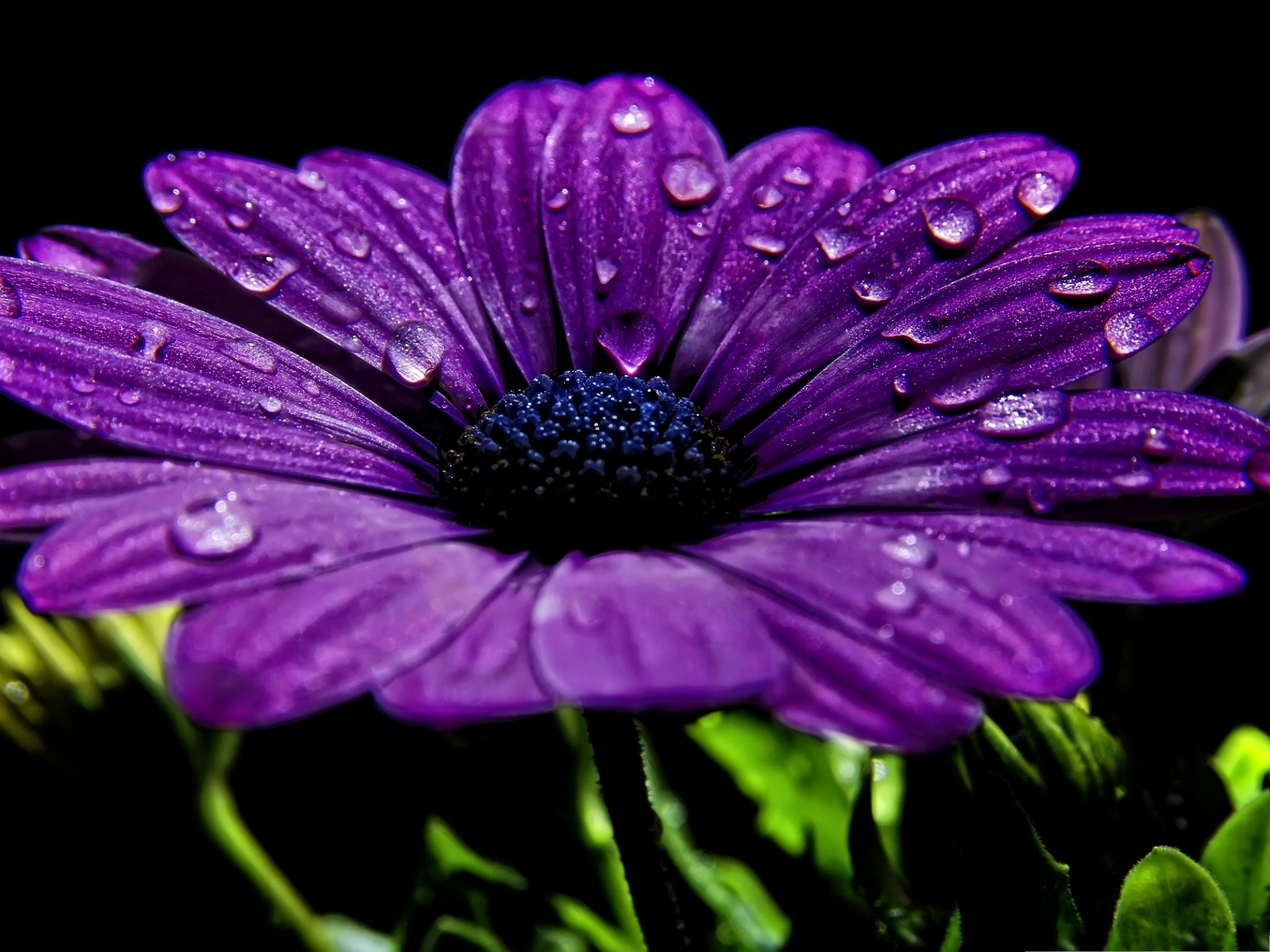 click to free download the wallpaper--Beautiful Purple Flower, Water Drops on Blooming Flower, Prosperous Scene 2048X1536 free wallpaper download