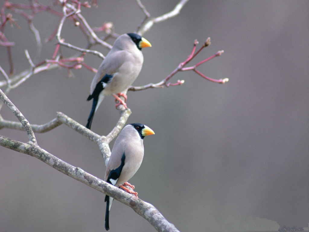 click to free download the wallpaper--Birds Picture, Two Birds on Bald Branch, the Best Friend of Each Other 1024X768 free wallpaper download