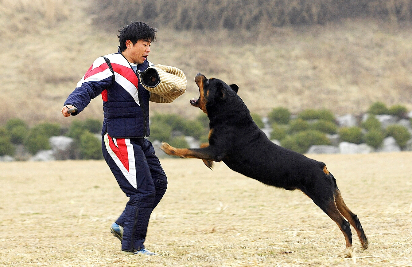 click to free download the wallpaper--Biting Rottweiler Rottweiler 1342X869 free wallpaper download