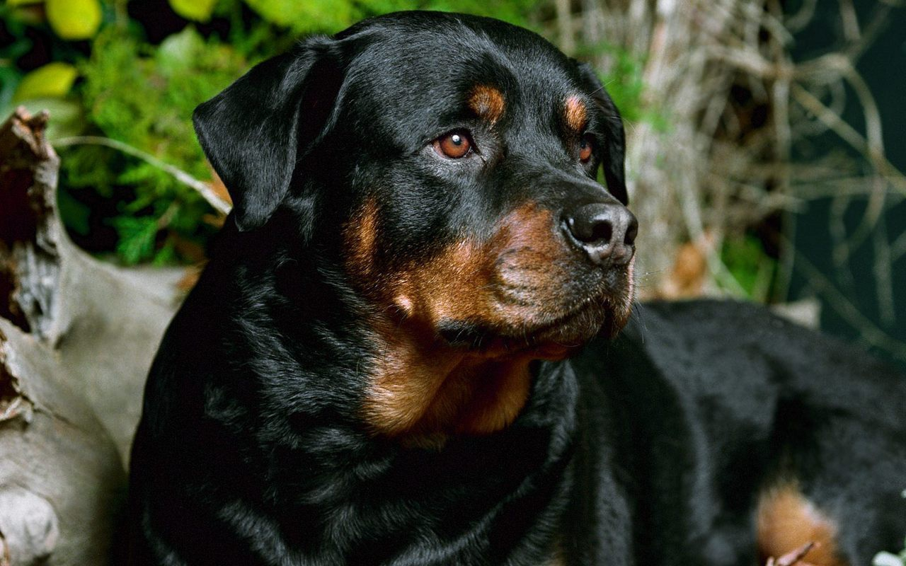 click to free download the wallpaper--Black Beautiful Rottweiler 1280X800 free wallpaper download