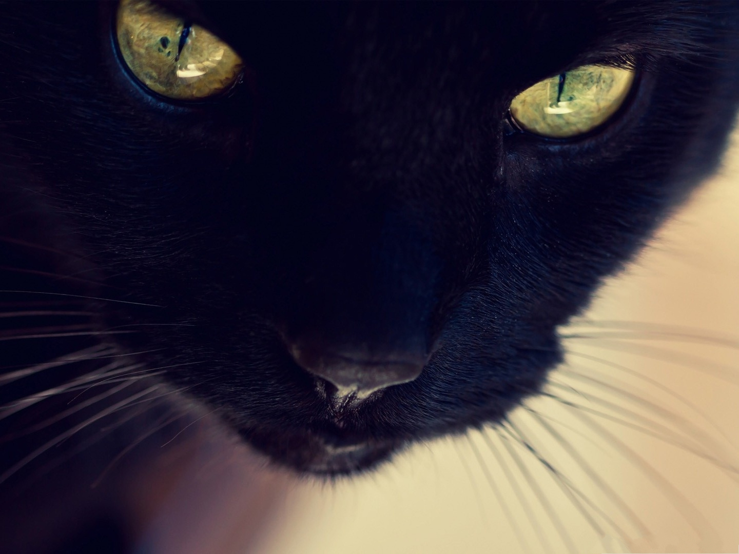 click to free download the wallpaper--Black Cat Wallpaper, Kitten in Yellow Eyes, Impressive Look 1440X1080 free wallpaper download