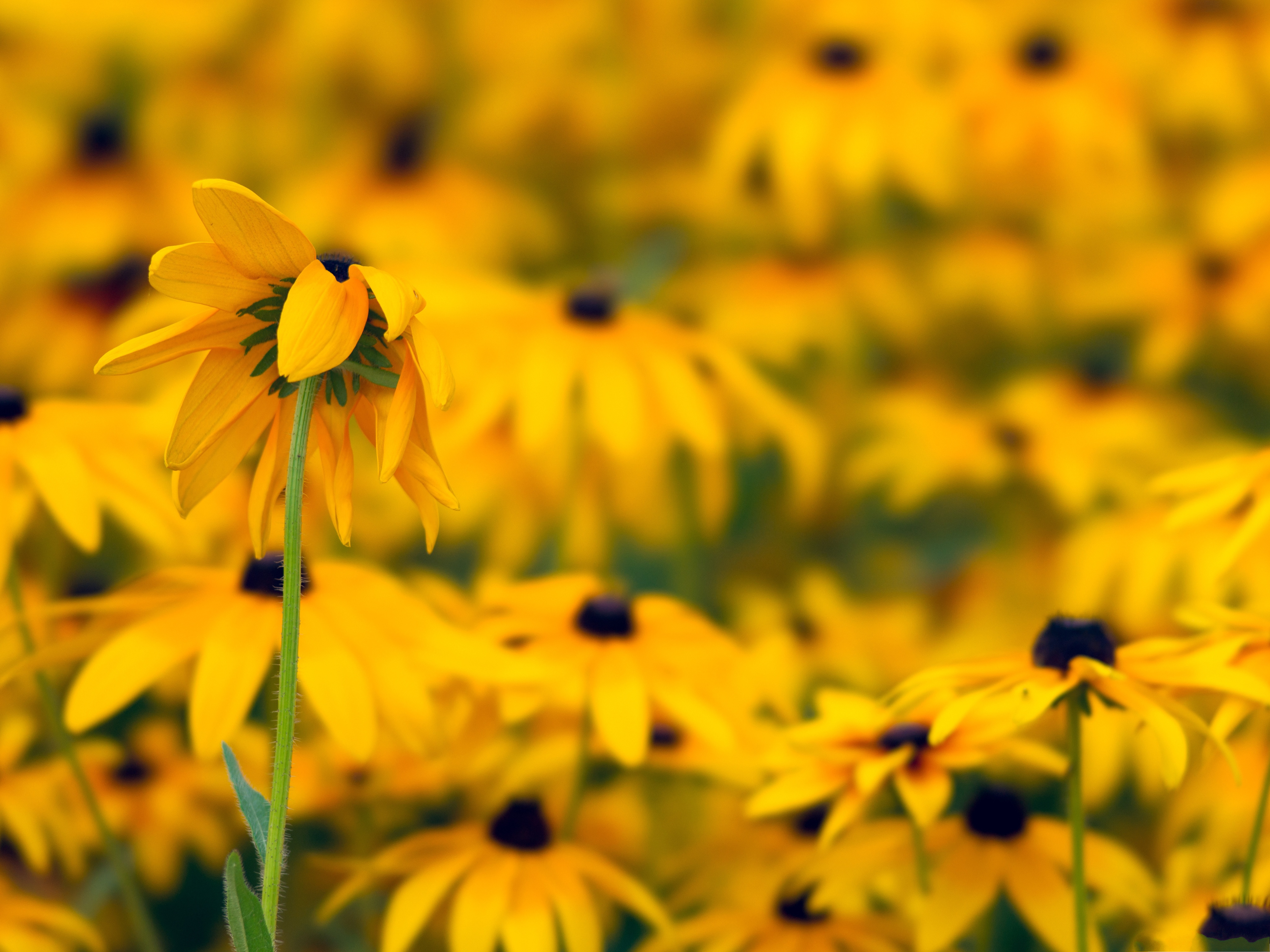 click to free download the wallpaper--Black Eyed Susan Flowers, Yellow Flowers, Great Flower Sea 4096X3072 free wallpaper download