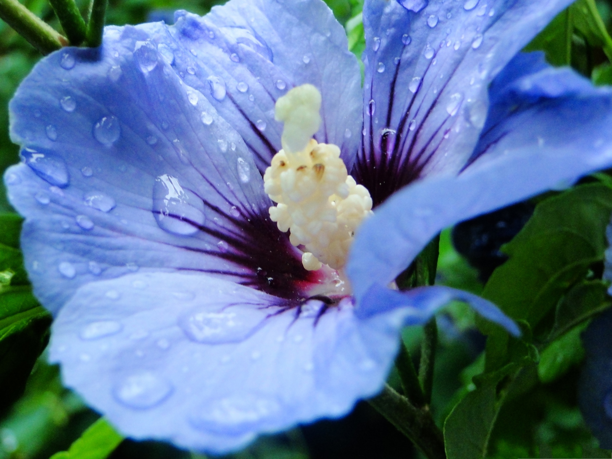 click to free download the wallpaper--Blue Flower Picture, Beautiful Flowers with Rain Drops, Green Leaves Around 2560X1920 free wallpaper download