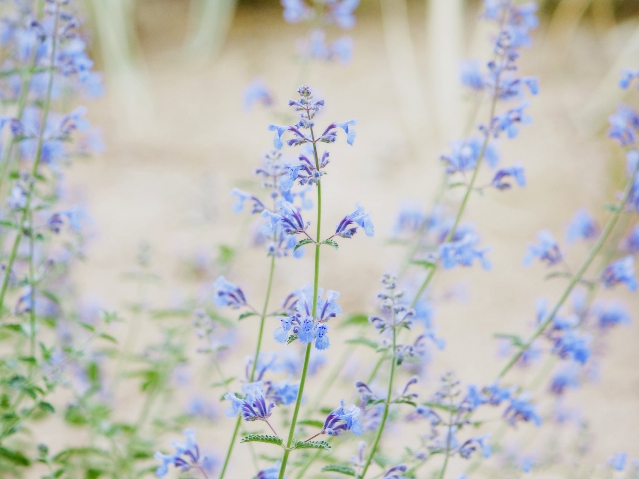 click to free download the wallpaper--Blue Small Flowers, Little Flowers in Bloom, Incredible Scenery 2048X1536 free wallpaper download