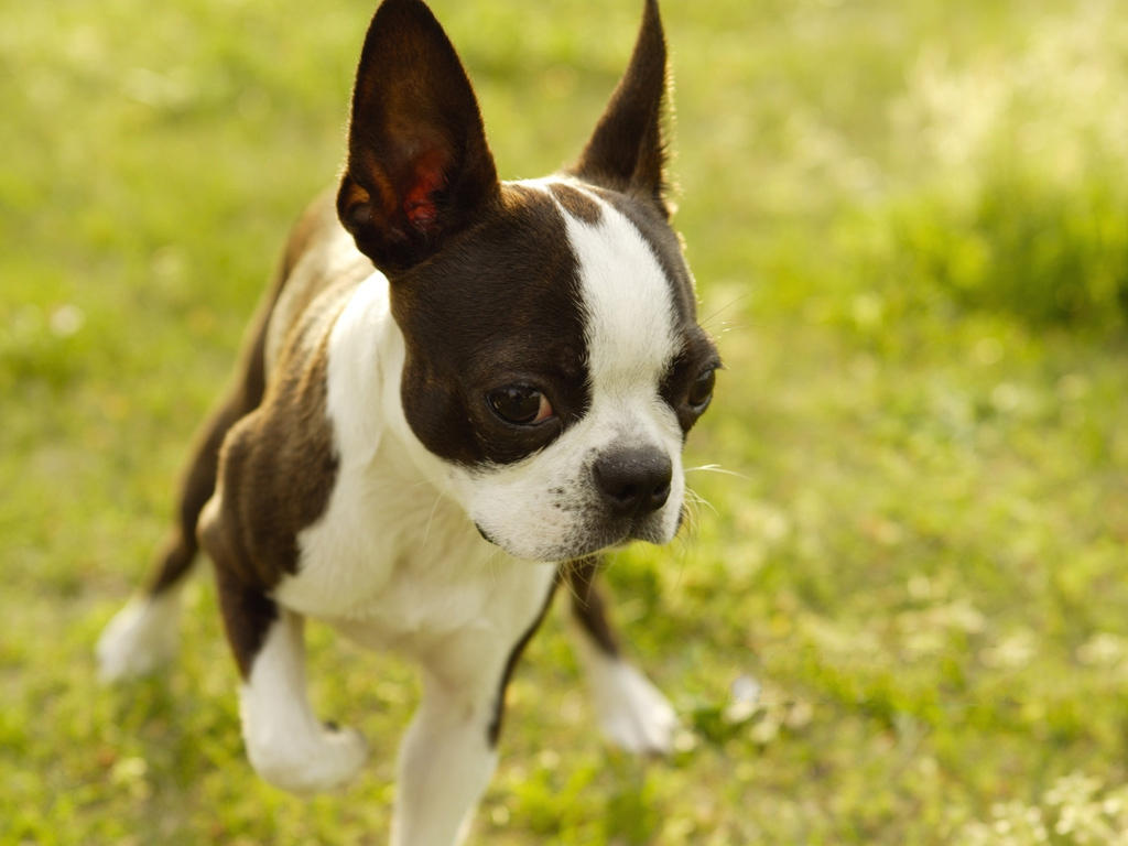 click to free download the wallpaper--Boston Terrier Dog Image, Running in Green Grass, Great Mood 1024X768 free wallpaper download