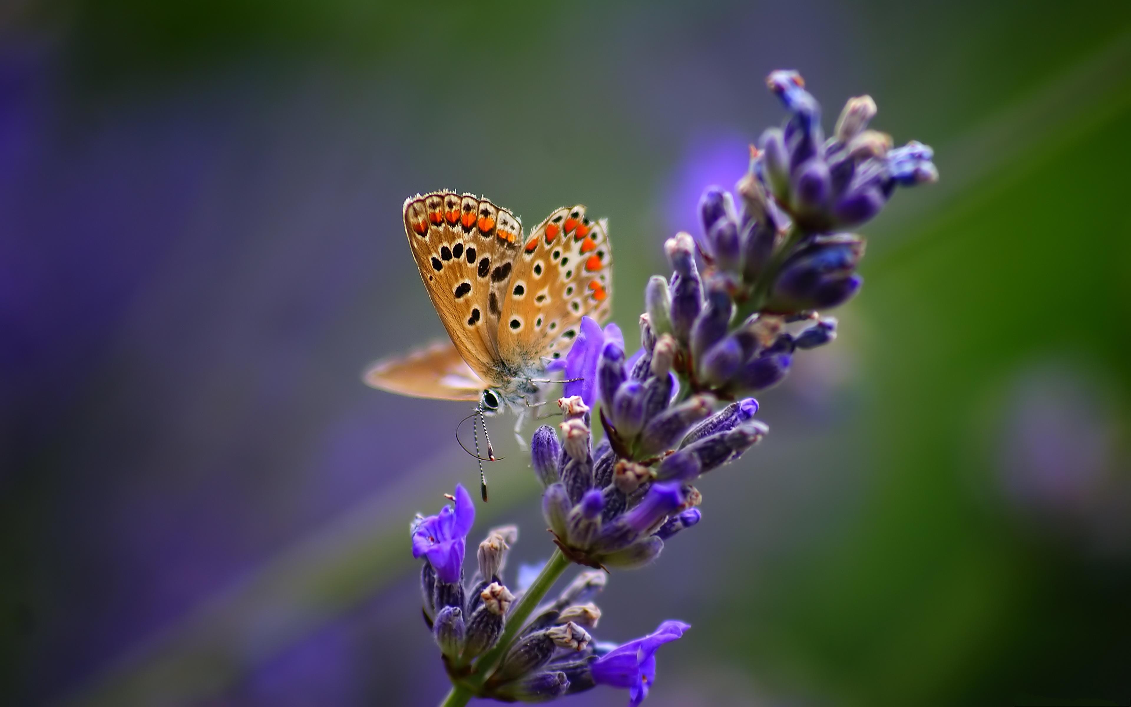 Lavender Flower Wallpaper Butterflies