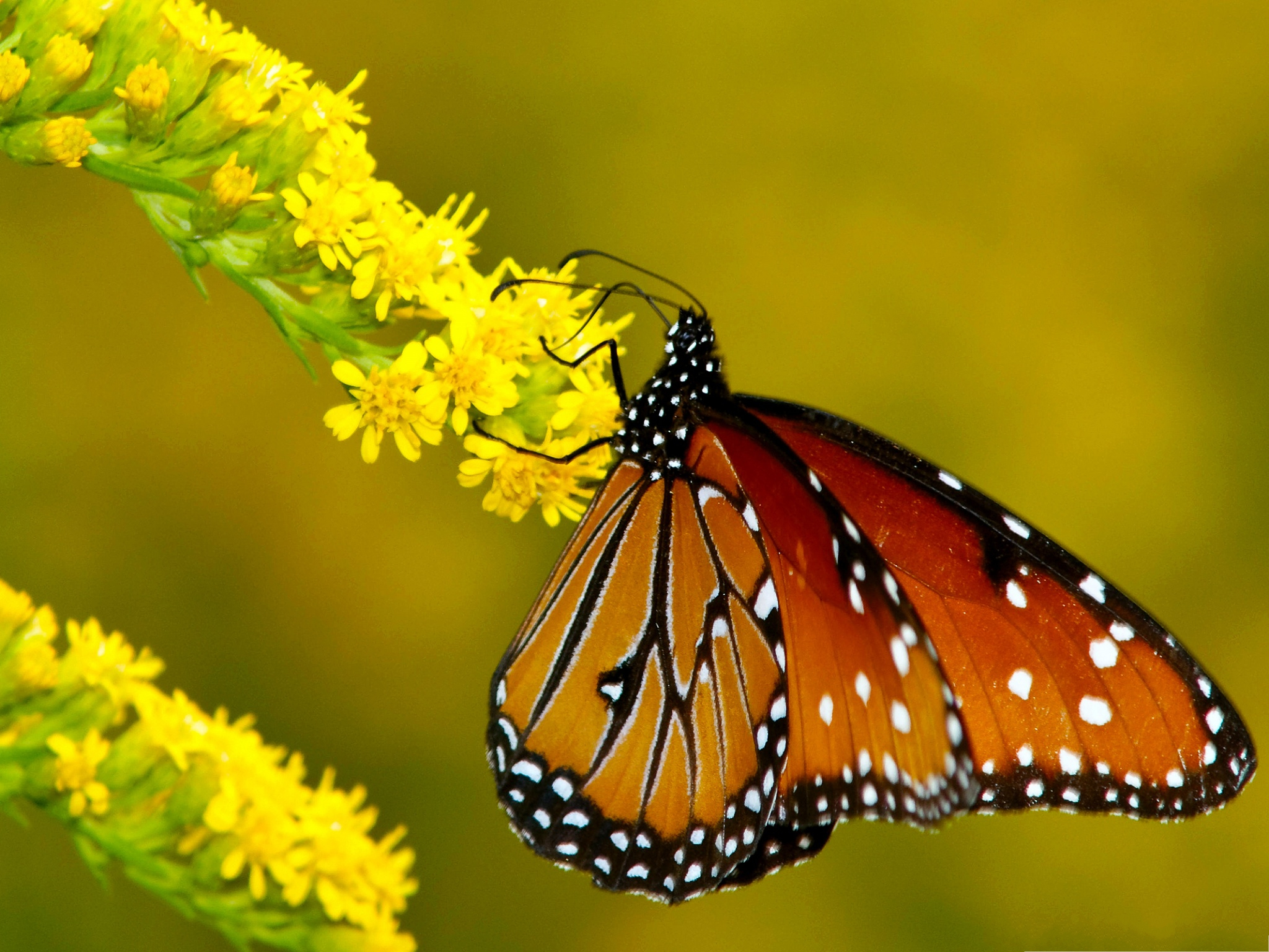 click to free download the wallpaper--Butterfly and Flowers, Monarch Butterfly on Yellow Flowers, Amazing Scene 2048X1536 free wallpaper download
