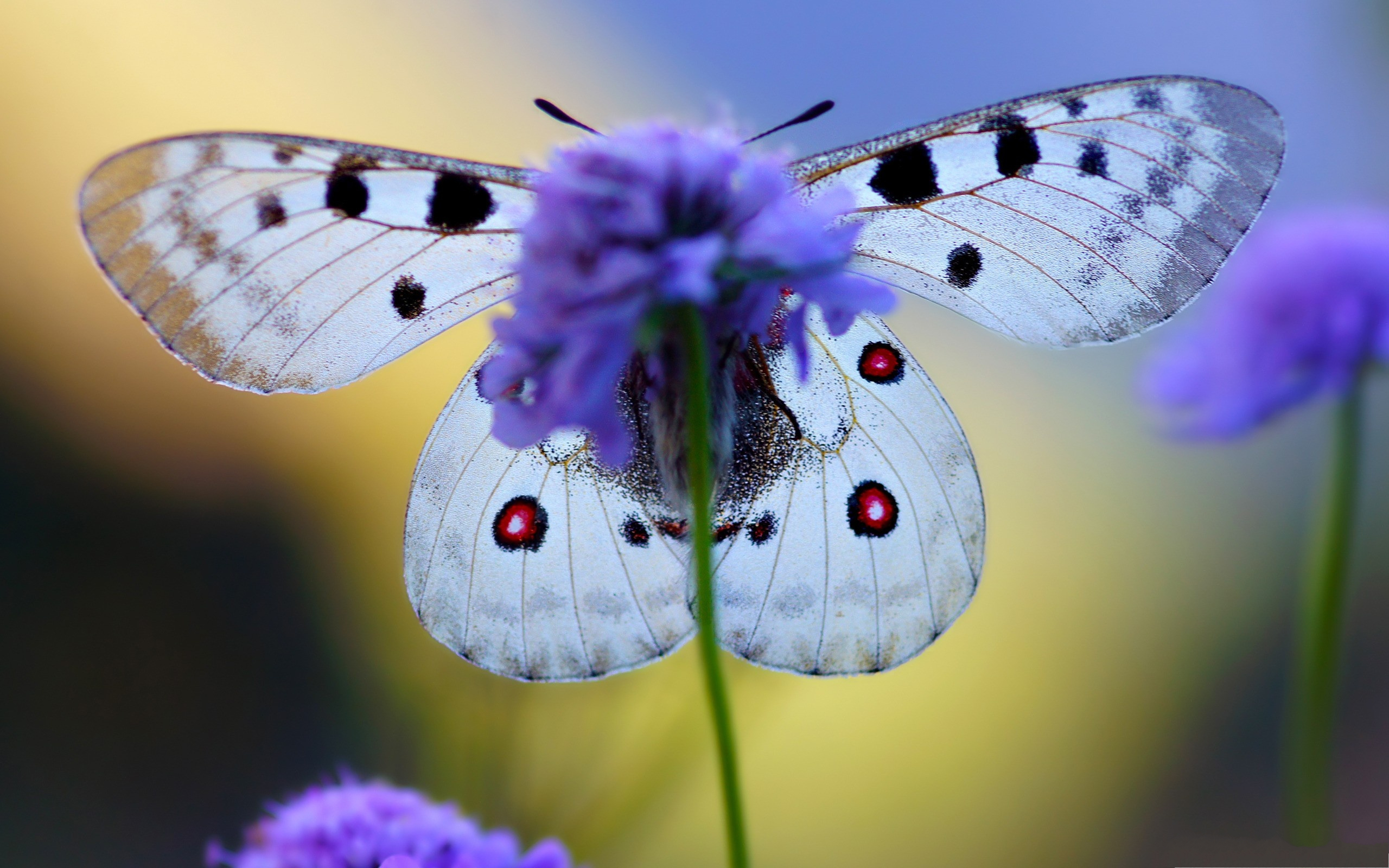 click to free download the wallpaper--Butterfly and Flowers, a White Butterfly on Blue Flowers, Highly Protective 2560X1600 free wallpaper download