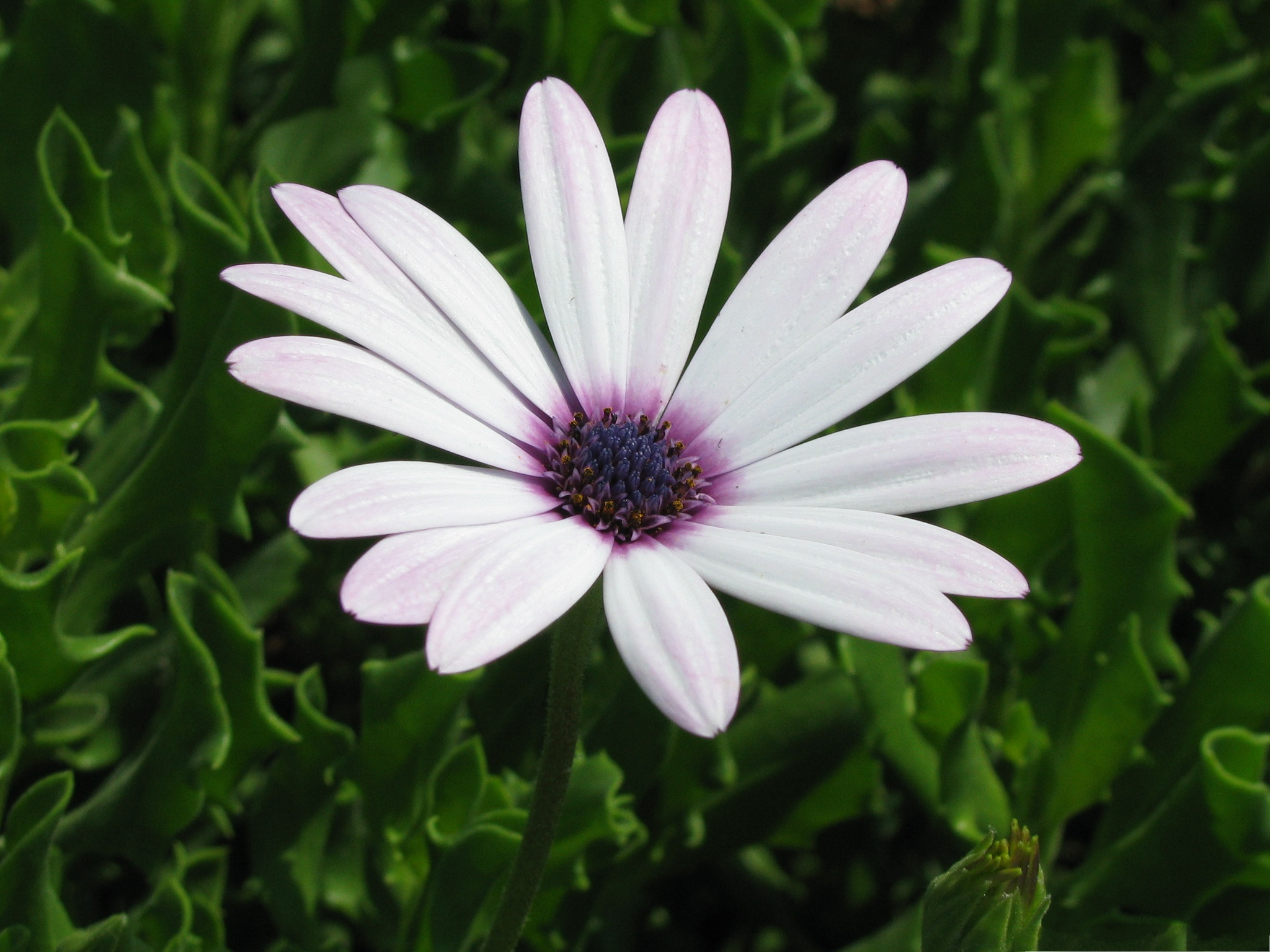 Cape Daisy Flowers White Small Flower in Bloom Green Grass and Leaves Aroun