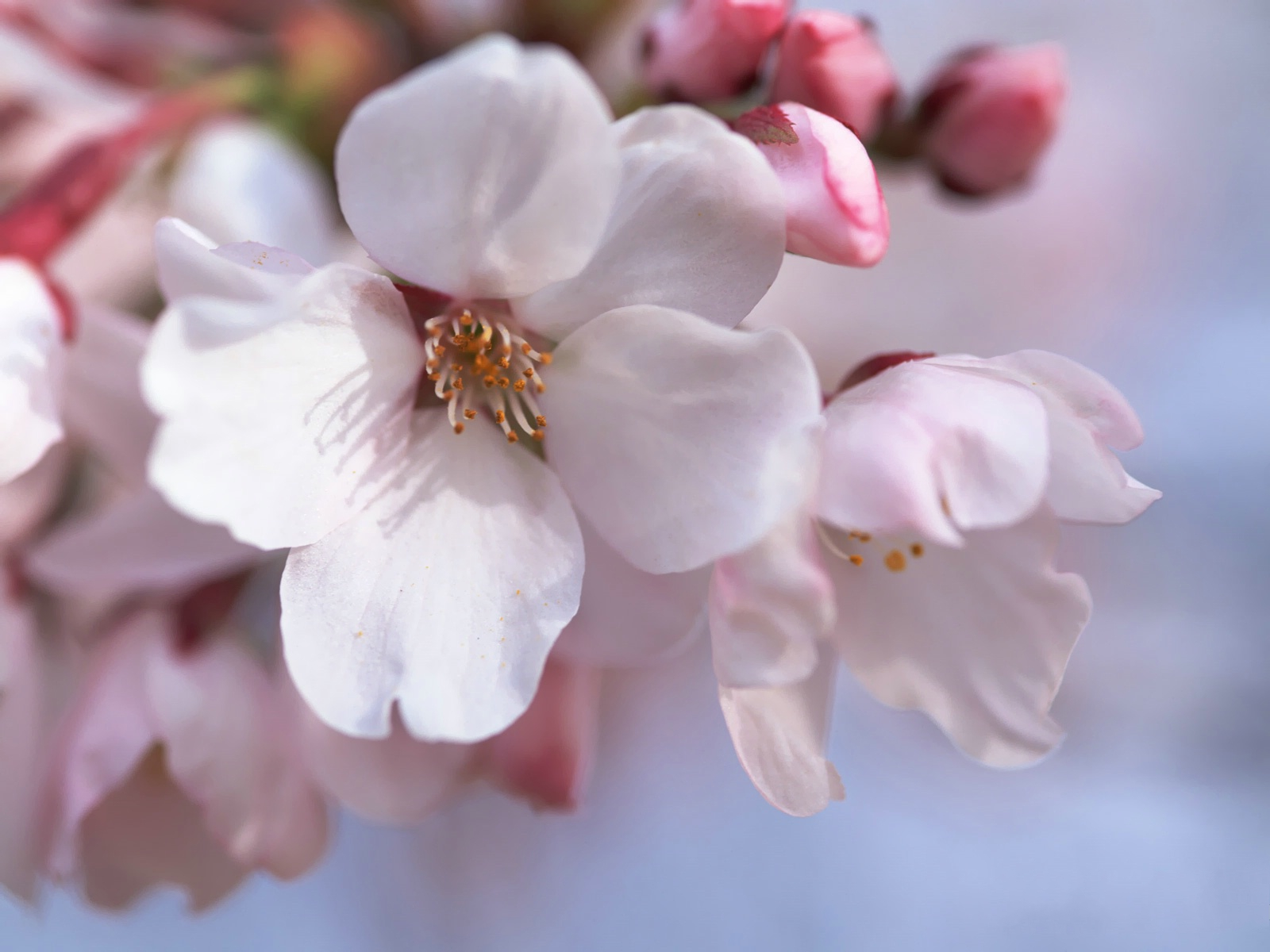 click to free download the wallpaper--Cherry Wallpaper, Japanese Cherry Blossom, Great to Look at 1600X1200 free wallpaper download
