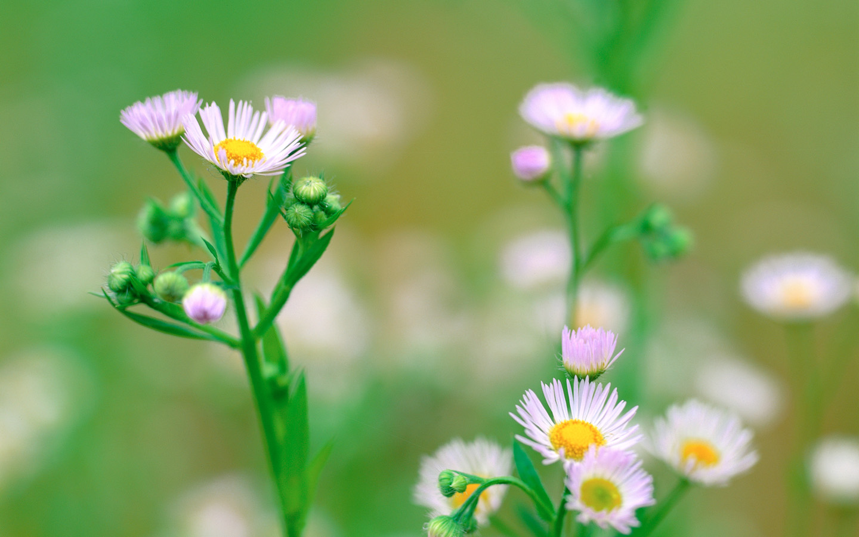 Chrysanthemum Flowers Pink Little Flowers in Bloom Green Stem 1440X900 free