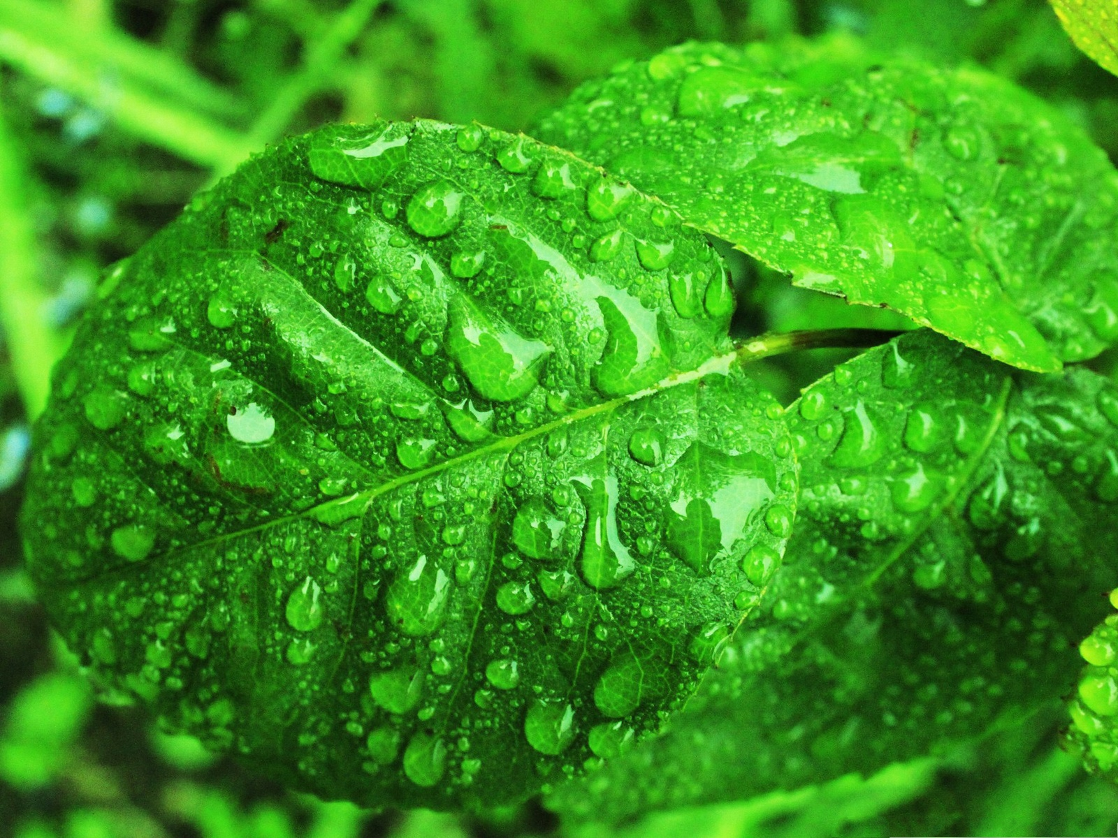 click to free download the wallpaper--Computer Background Wallpaper, Green Leaves with Raindrops, Fit for Multiple Devices 1600X1200 free wallpaper download
