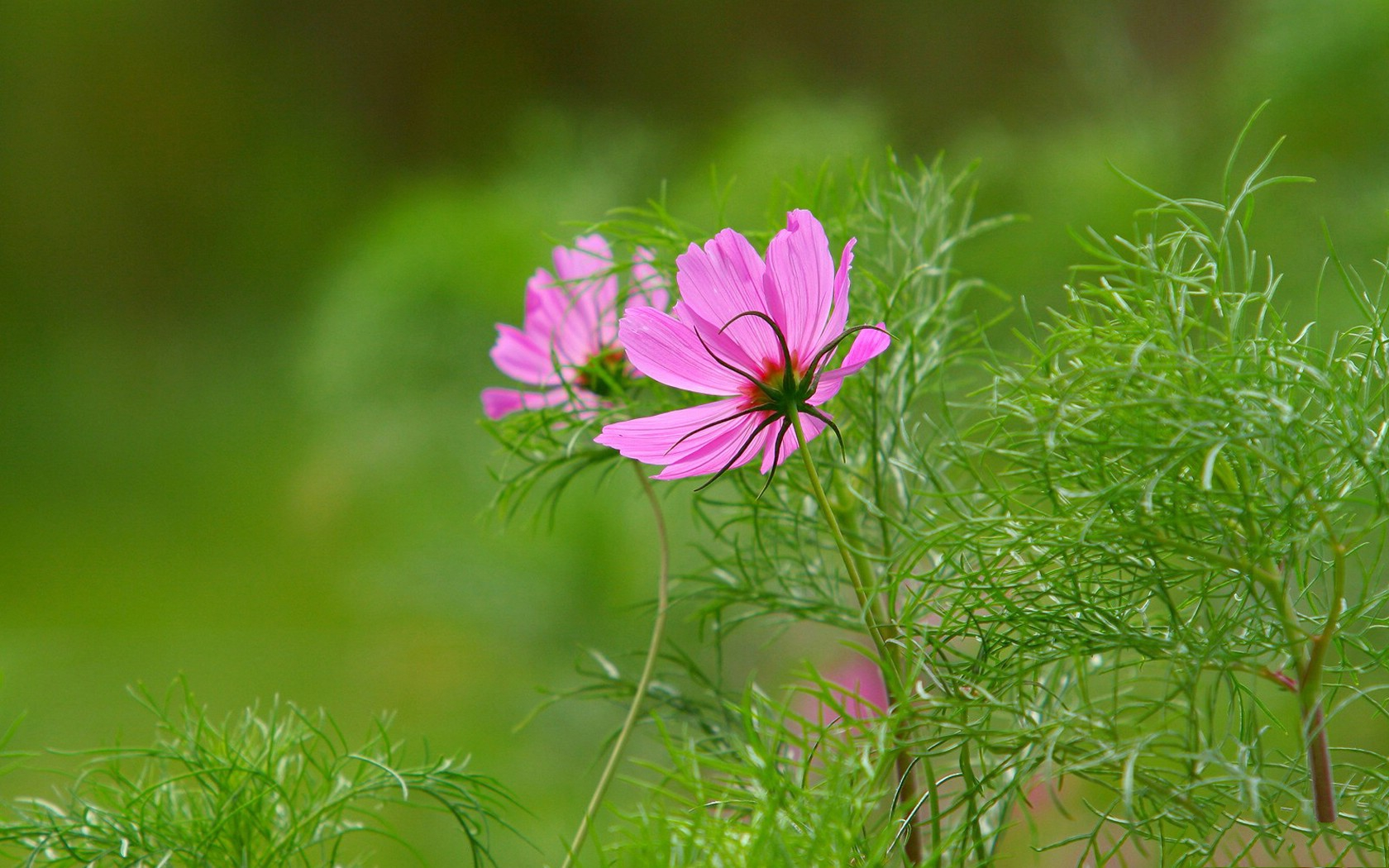 click to free download the wallpaper--Cosmos Photo, Wild Flowers Blooming in Fall, Prosperous Scene 1680X1050 free wallpaper download