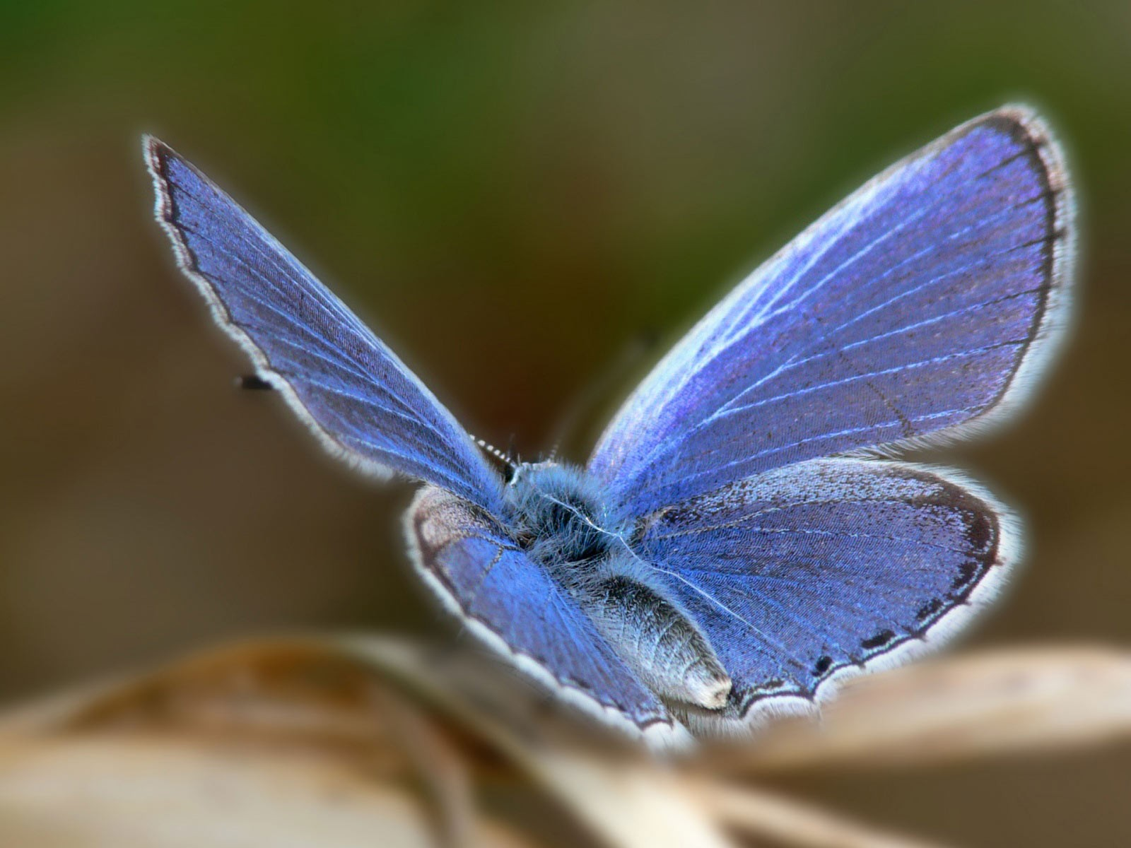 Cute Animal Posts, Beautiful Blue Butterfly, Shall Stay Around Long--1600X1200 free wallpaper download