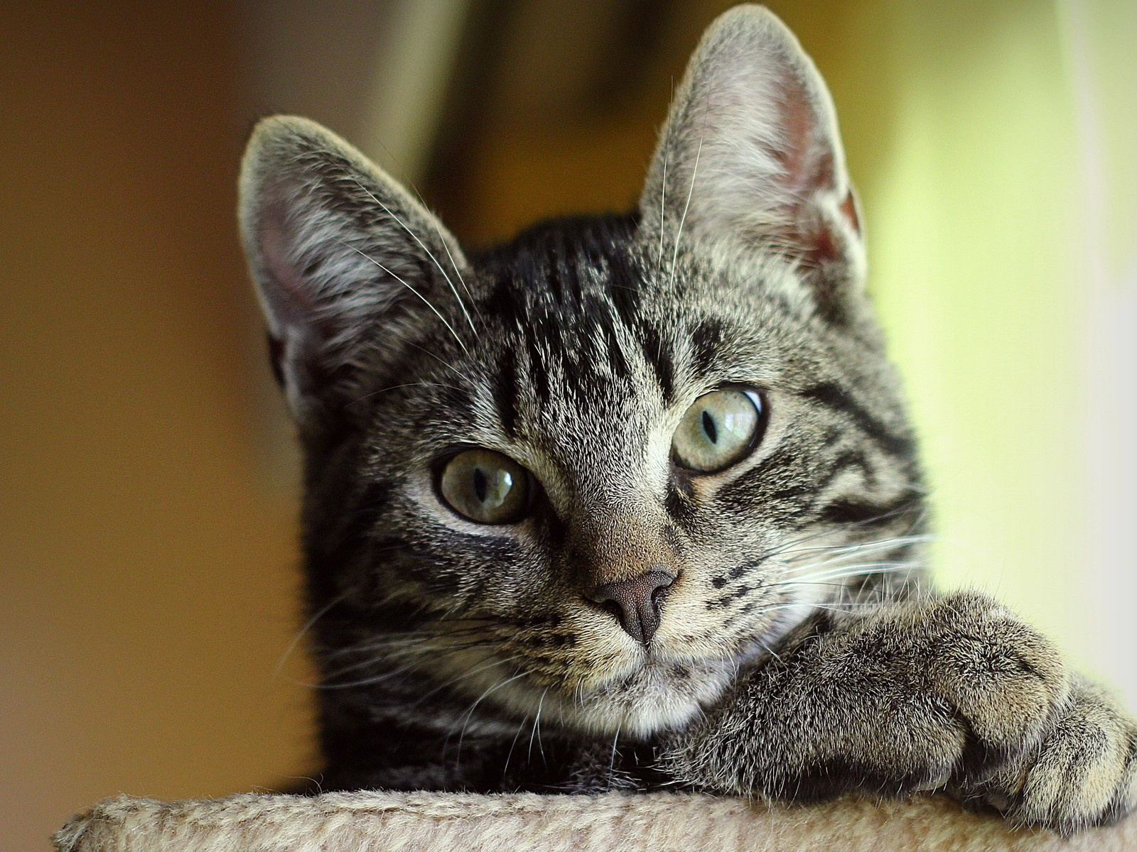 click to free download the wallpaper--Cute Animals Image, Attentive Kitten, One Paw Put on Another, Relaxable Look 1600X1200 free wallpaper download