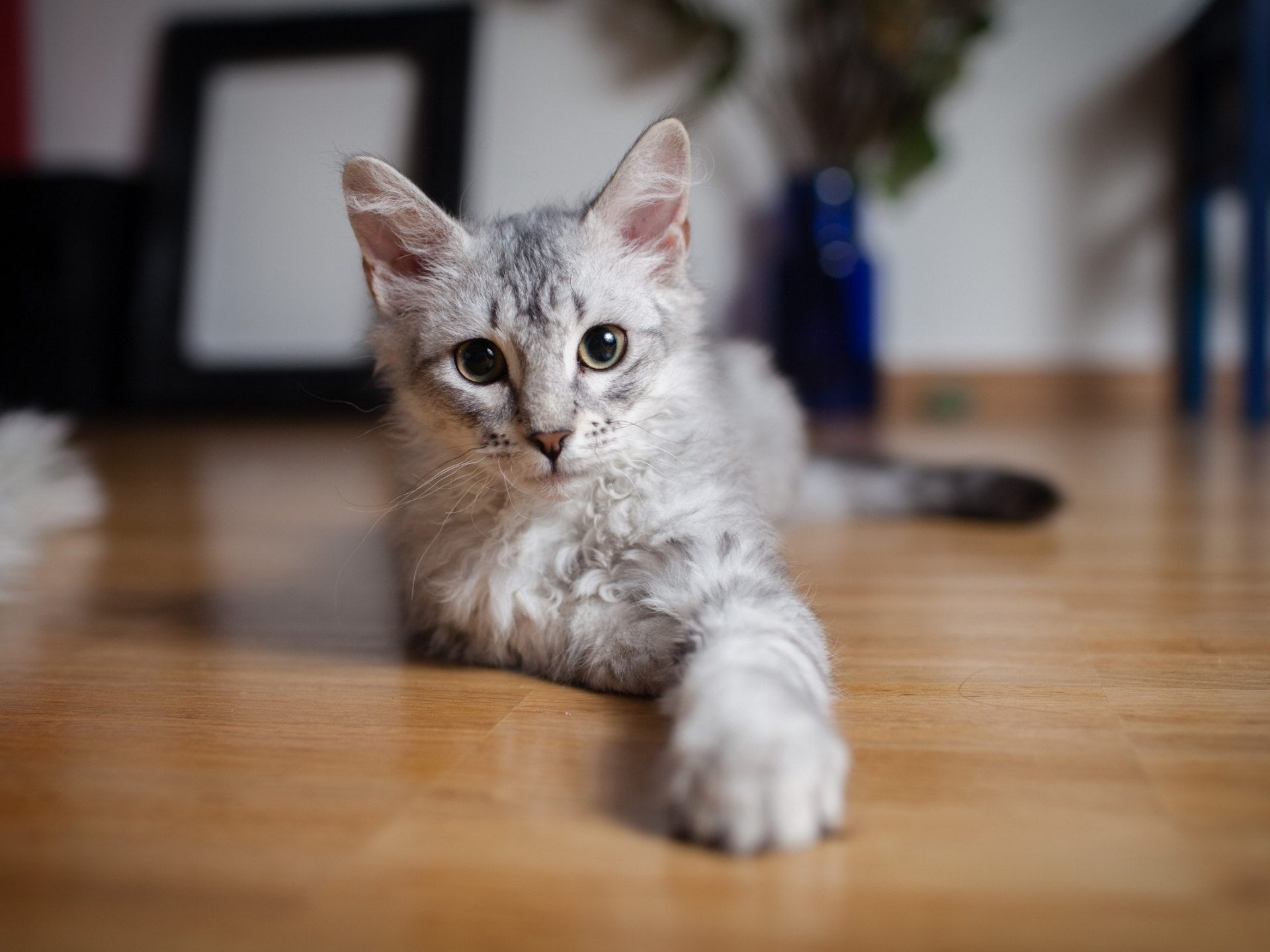 click to free download the wallpaper--Cute Animals Image, Gray Kitten Indoor, Attentive Look, Shall be Impressive 1920X1440 free wallpaper download