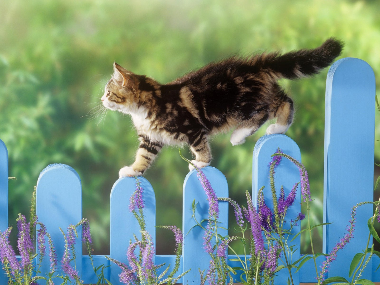 click to free download the wallpaper--Cute Animals Image, Kitty Walking on Blue Fences, Slow and Steady, Enjoying the Nature Scene 1600X1200 free wallpaper download