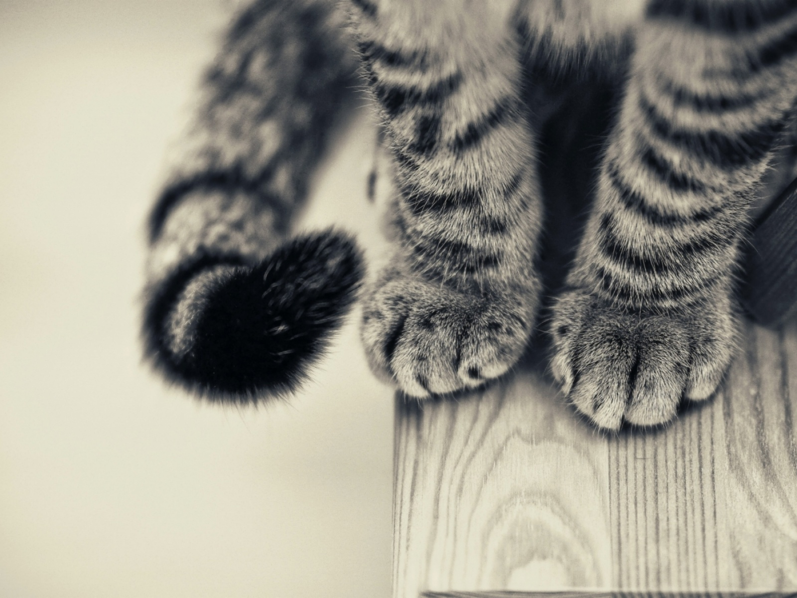 click to free download the wallpaper--Cute Animals Pic, Cat Paws, Soft and Nice-Looking, a Black and Gray Tale 1600X1200 free wallpaper download