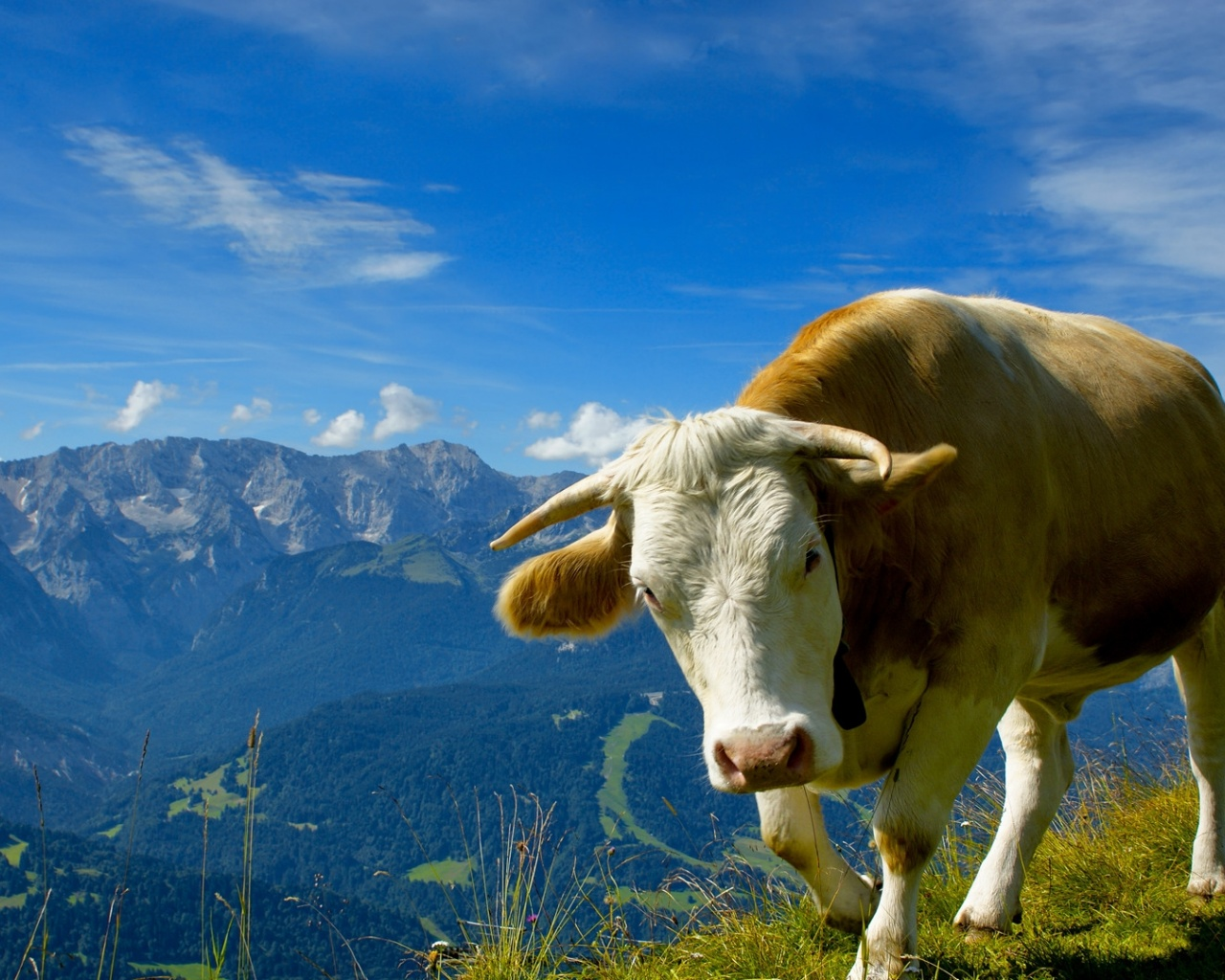 click to free download the wallpaper--Cute Animals Post, Peaceful Cow, the Blue Sky, Shall Strike a Deep Impression 1280X1024 free wallpaper download