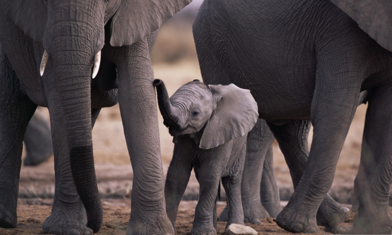 Cute Baby Elephant, Small and Short, It Deserves Great Care and Attention--1280X768 free wallpaper download