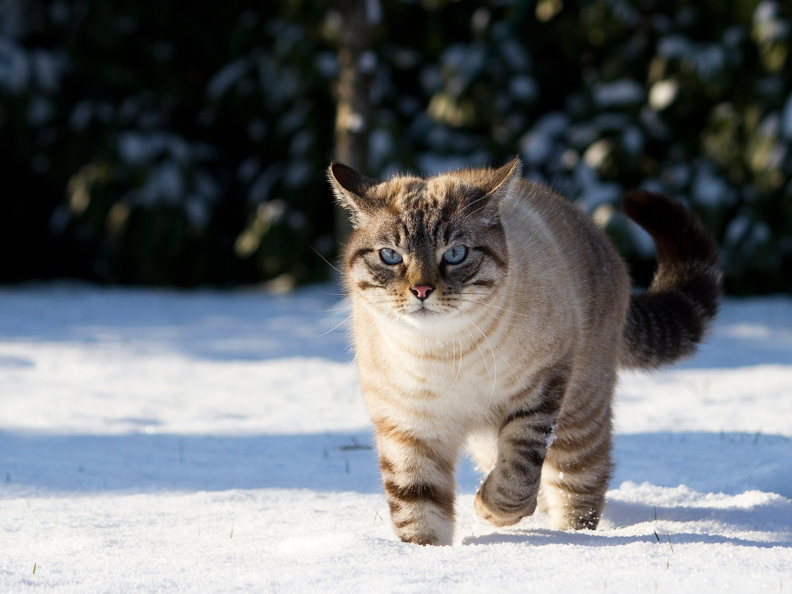 click to free download the wallpaper--Cute Cat Photography, Kitten in the Snow, Strong Legs as Support 1600X1200 free wallpaper download