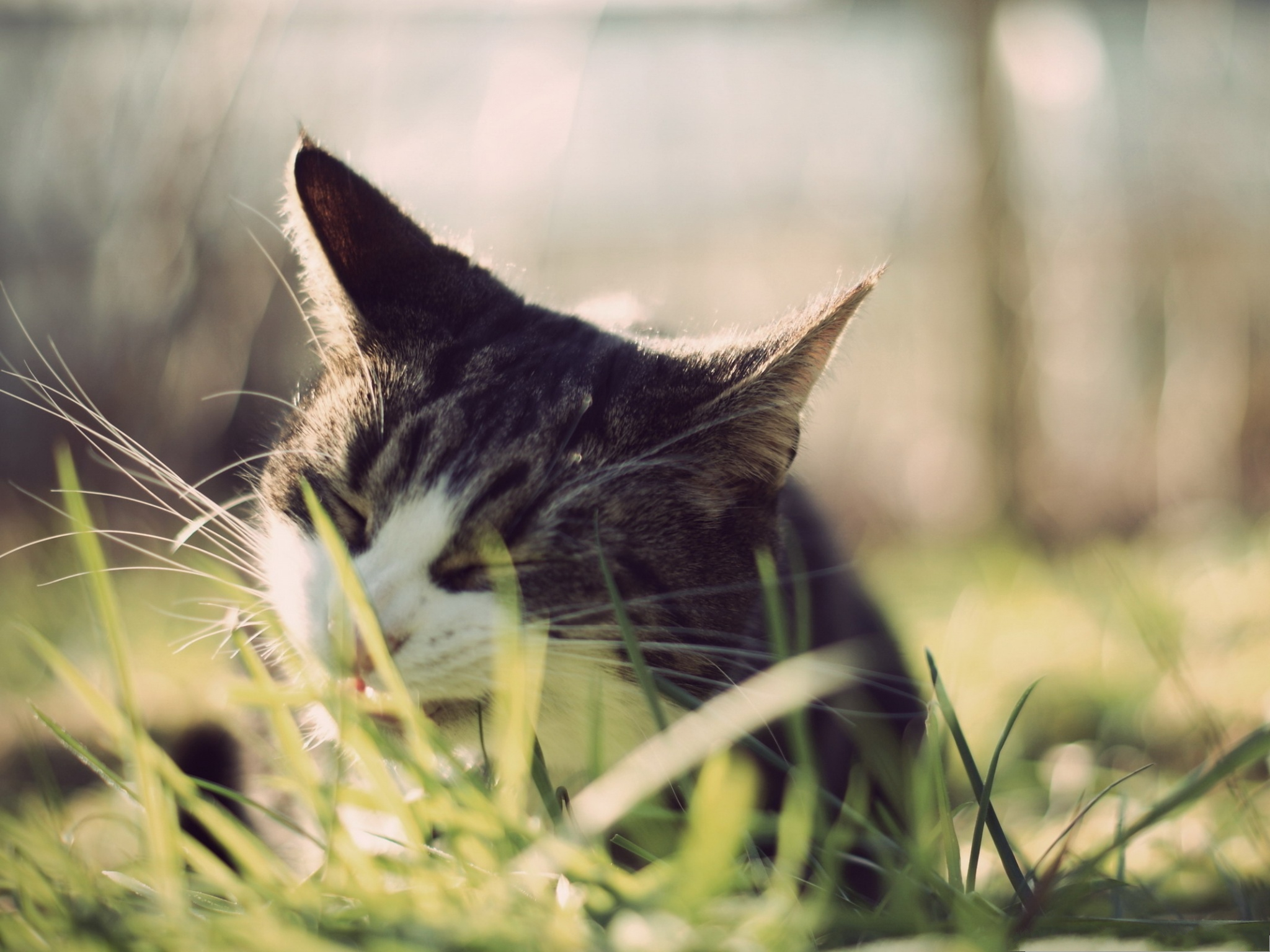 click to free download the wallpaper--Cute Cat Photos, Cat Eating Grass, Hungry to Extremity 2048X1536 free wallpaper download