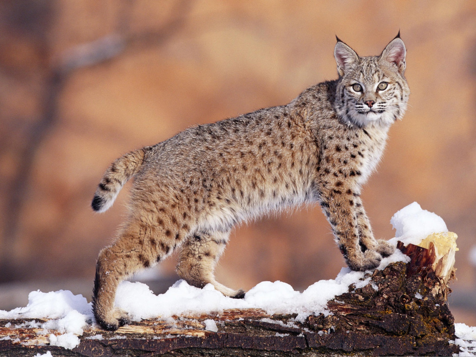 click to free download the wallpaper--Cute Cat Pic, Large Bobcat Standing in Snow, Magnificent Look 1600X1200 free wallpaper download