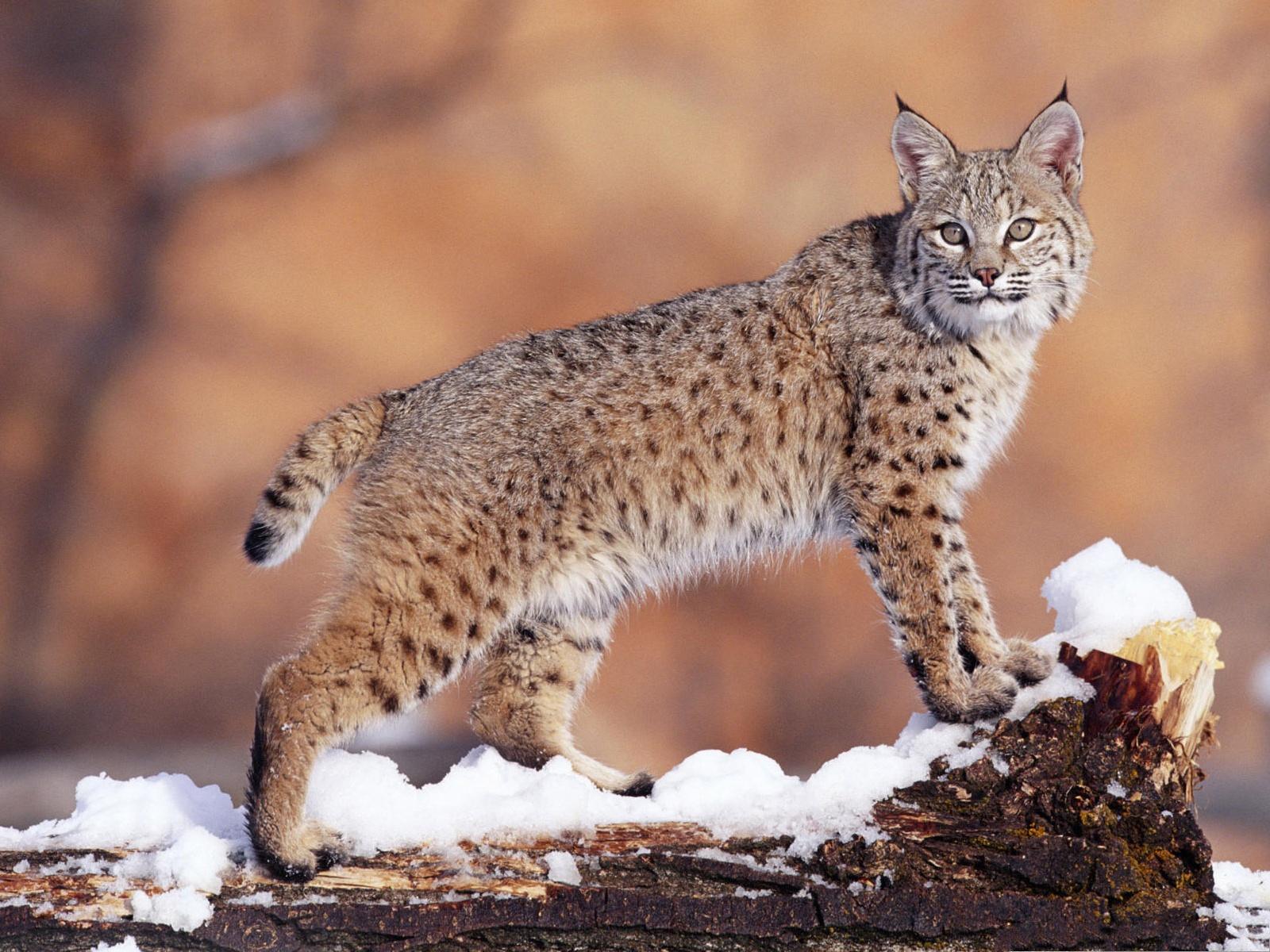 Cute Bobcat Cute cat pic, large bobcat