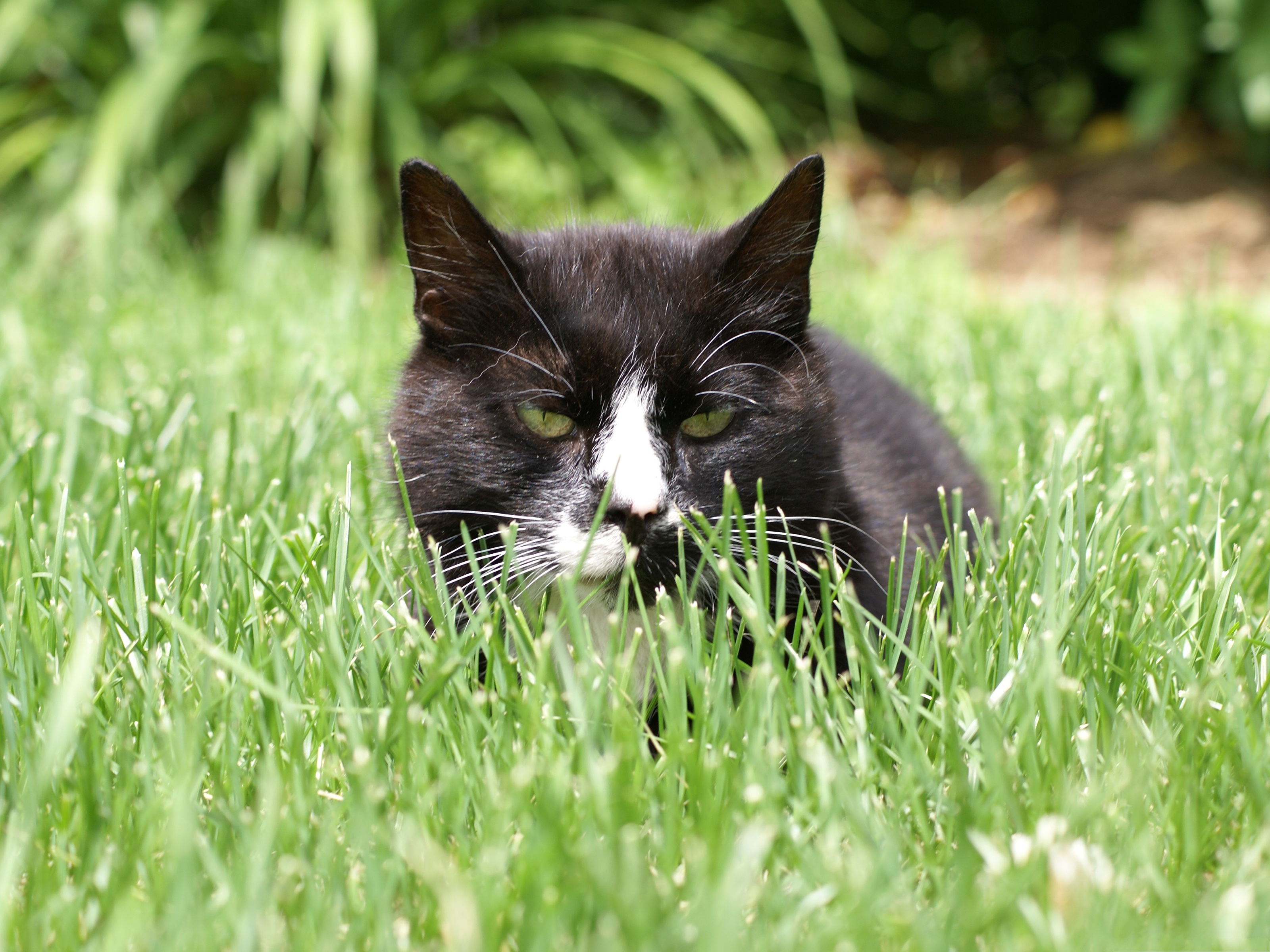 click to free download the wallpaper--Cute Cat Picture, Kitten in Green Grass, Ready to Attack 3200X2400 free wallpaper download