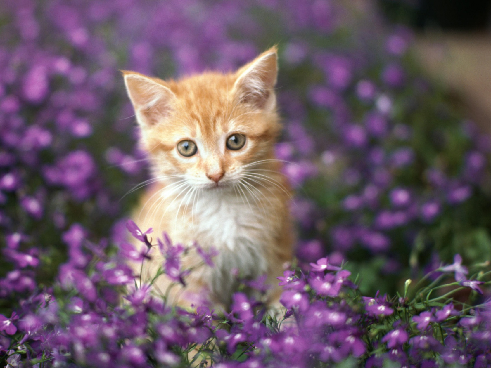 click to free download the wallpaper--Cute Cats Image, Kitten Among Purple Flowers, Getting Amazed 1600X1200 free wallpaper download