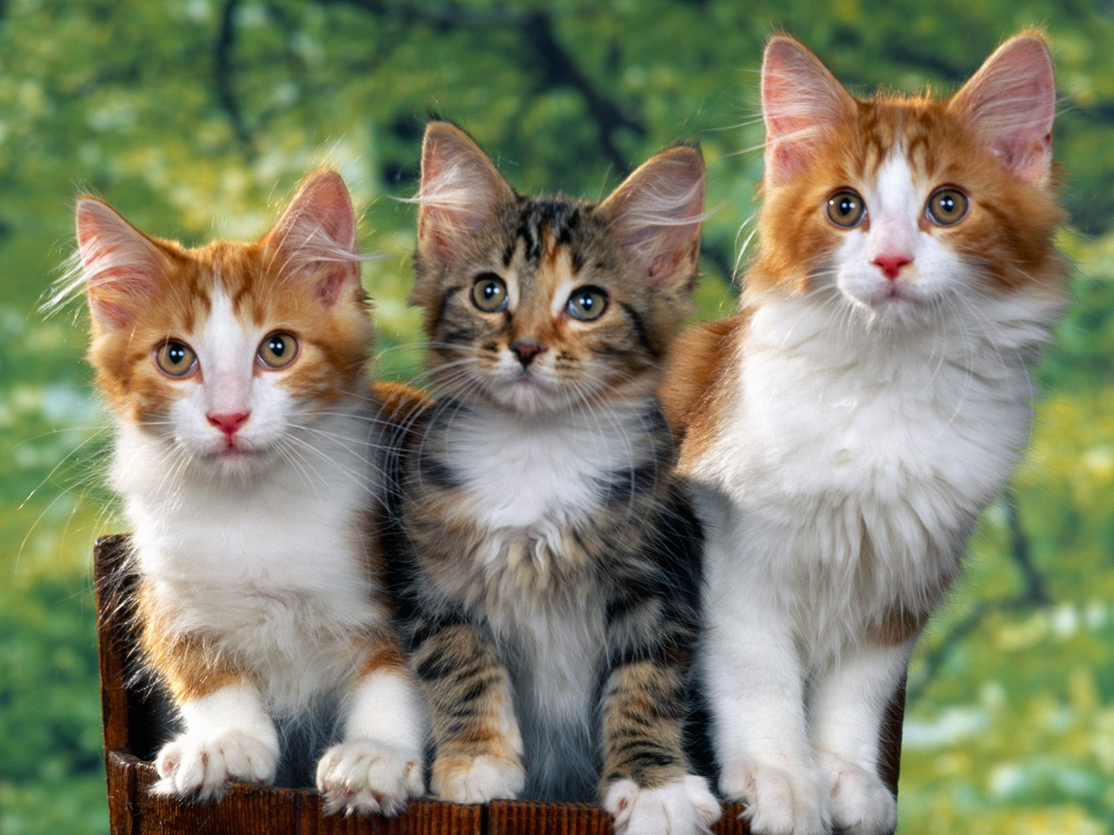 click to free download the wallpaper--Cute Cats Photo, Three Cats Together, All Looking at a Certain Object 1600X1200 free wallpaper download