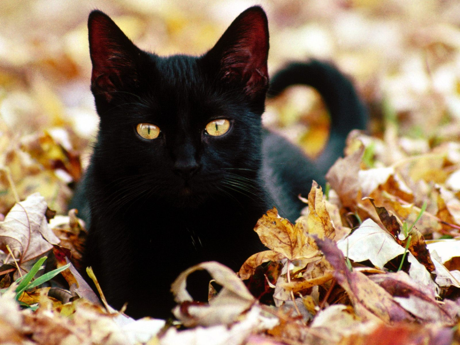 click to free download the wallpaper--Cute Cats Picture, Black Kitten on Brown Leaves, Mysterious and Powerful 1600X1200 free wallpaper download