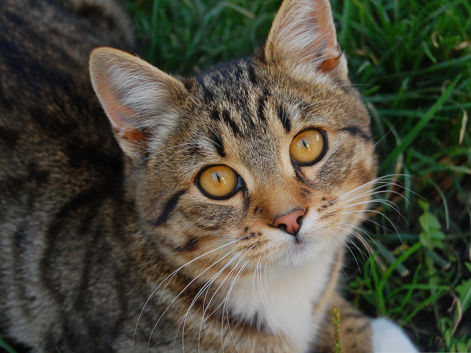 Cute Cats Picture, Kitten in Golden Eyes, Green Grass