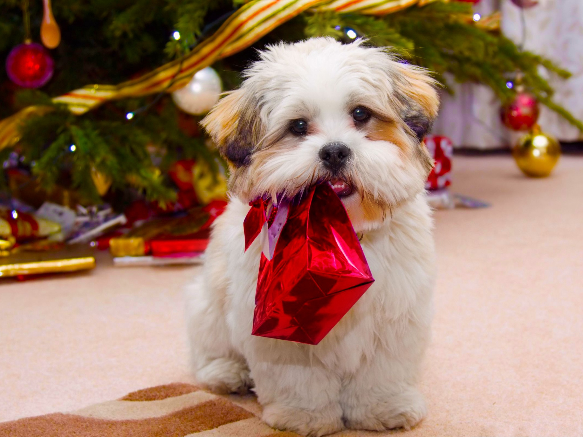 click to free download the wallpaper--Cute Dog Images, Puppy Receiving a Gift on Christmas Day, Open It! 2048X1536 free wallpaper download