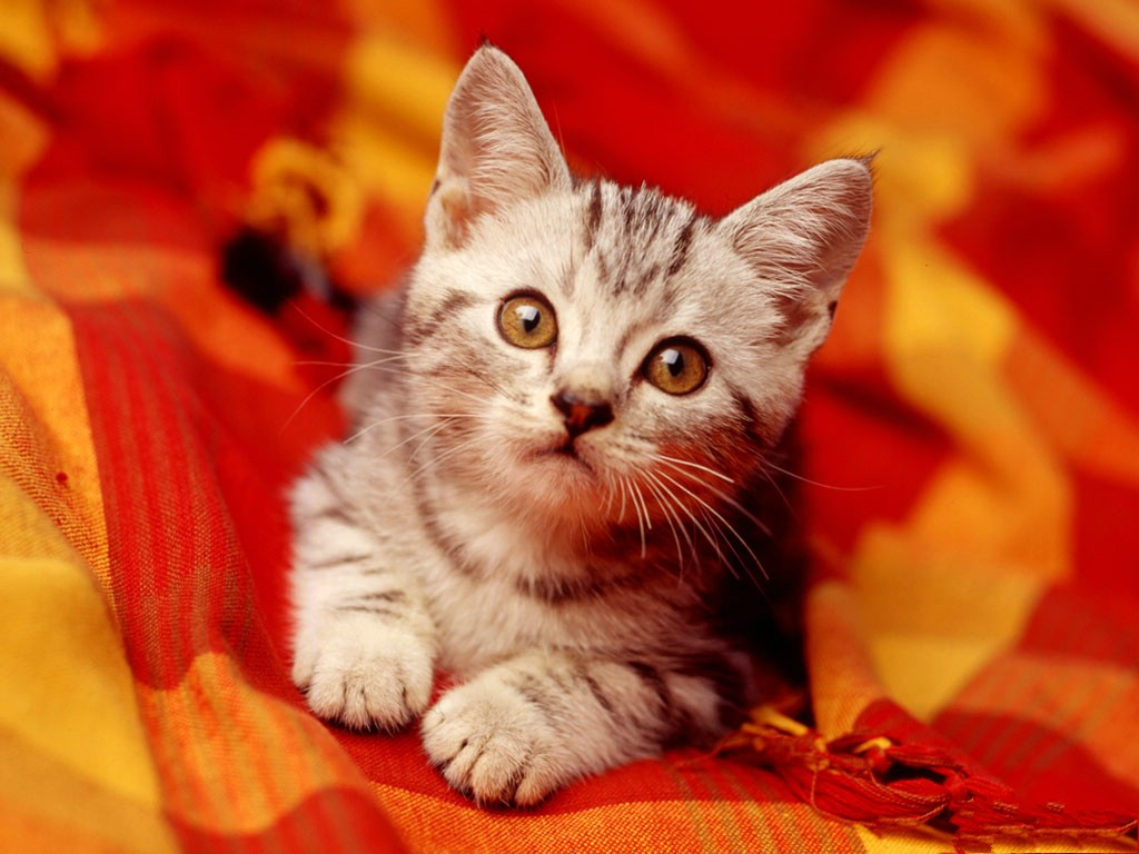 click to free download the wallpaper--Cute Kitten Pic, Kitten in Attentive Eyes, Red Blanket, Impressive in Look 1024X768 free wallpaper download