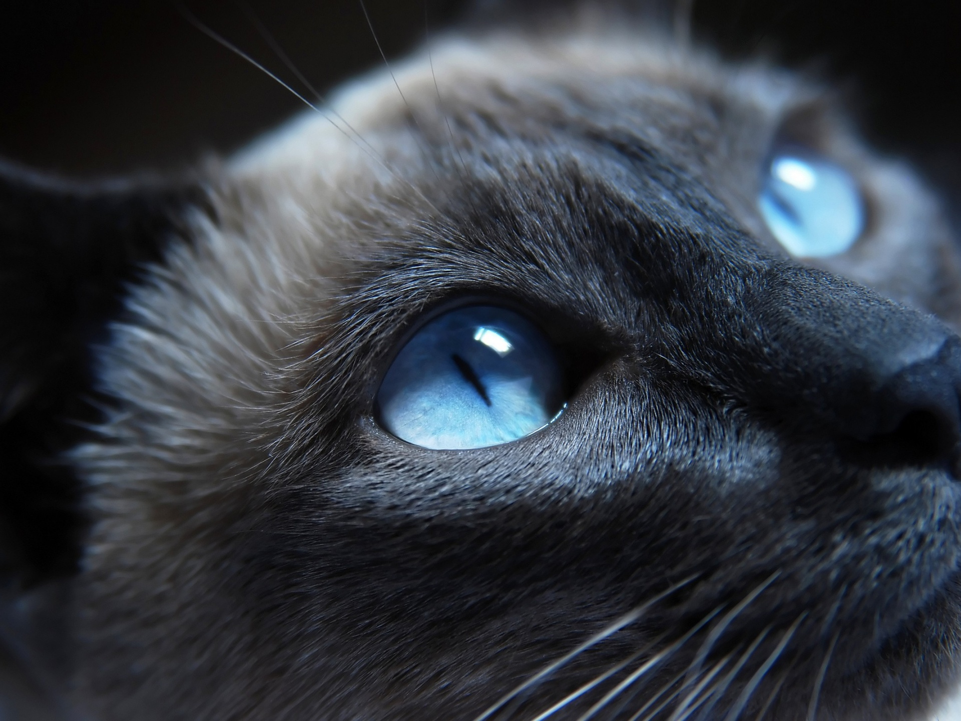 click to free download the wallpaper--Cute Kitty Image, Blue Eyes, Face Portrait, is Lovely and Impressive 1920X1440 free wallpaper download