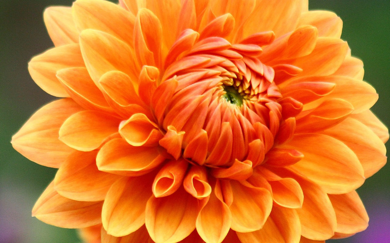 click to free download the wallpaper--Dahlia Images, Orange Dahlia, Hands Fully Stretched, Smiling Young Girl 1280X800 free wallpaper download